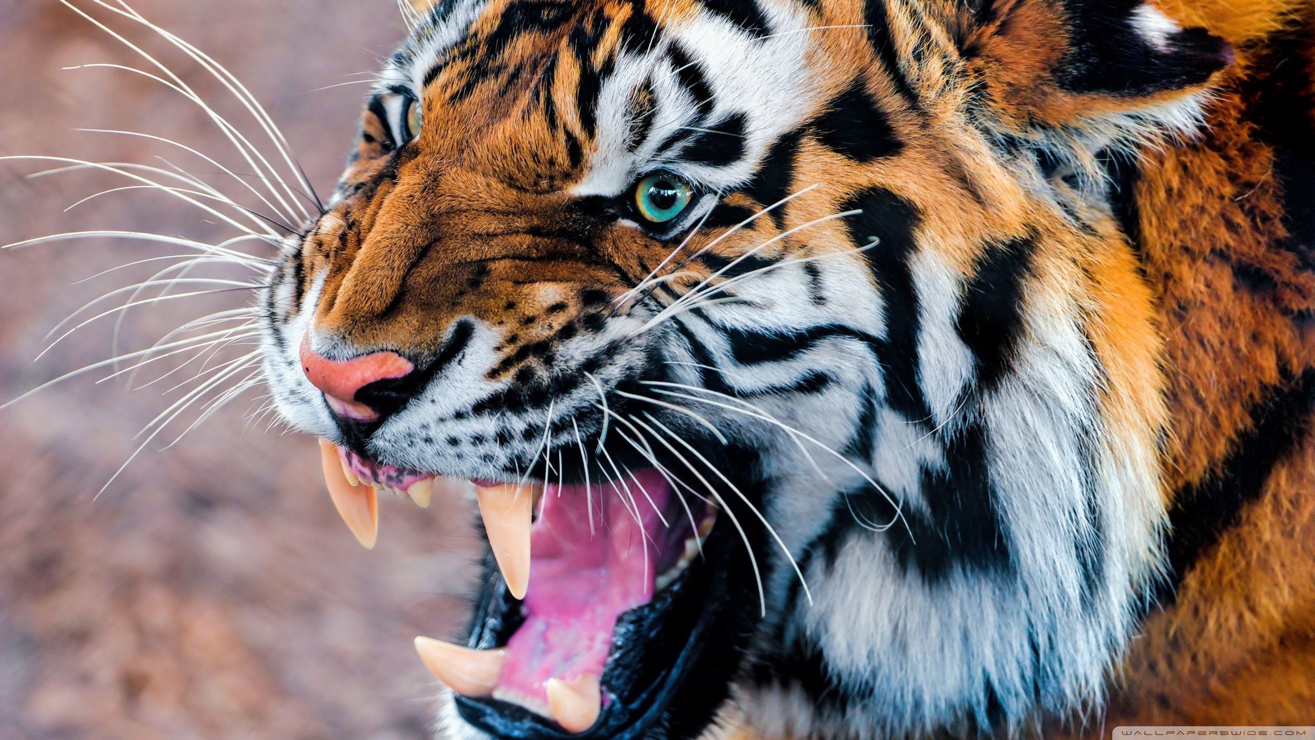 tiger wallpaper desktop | animals wallpapers | pinterest | tiger