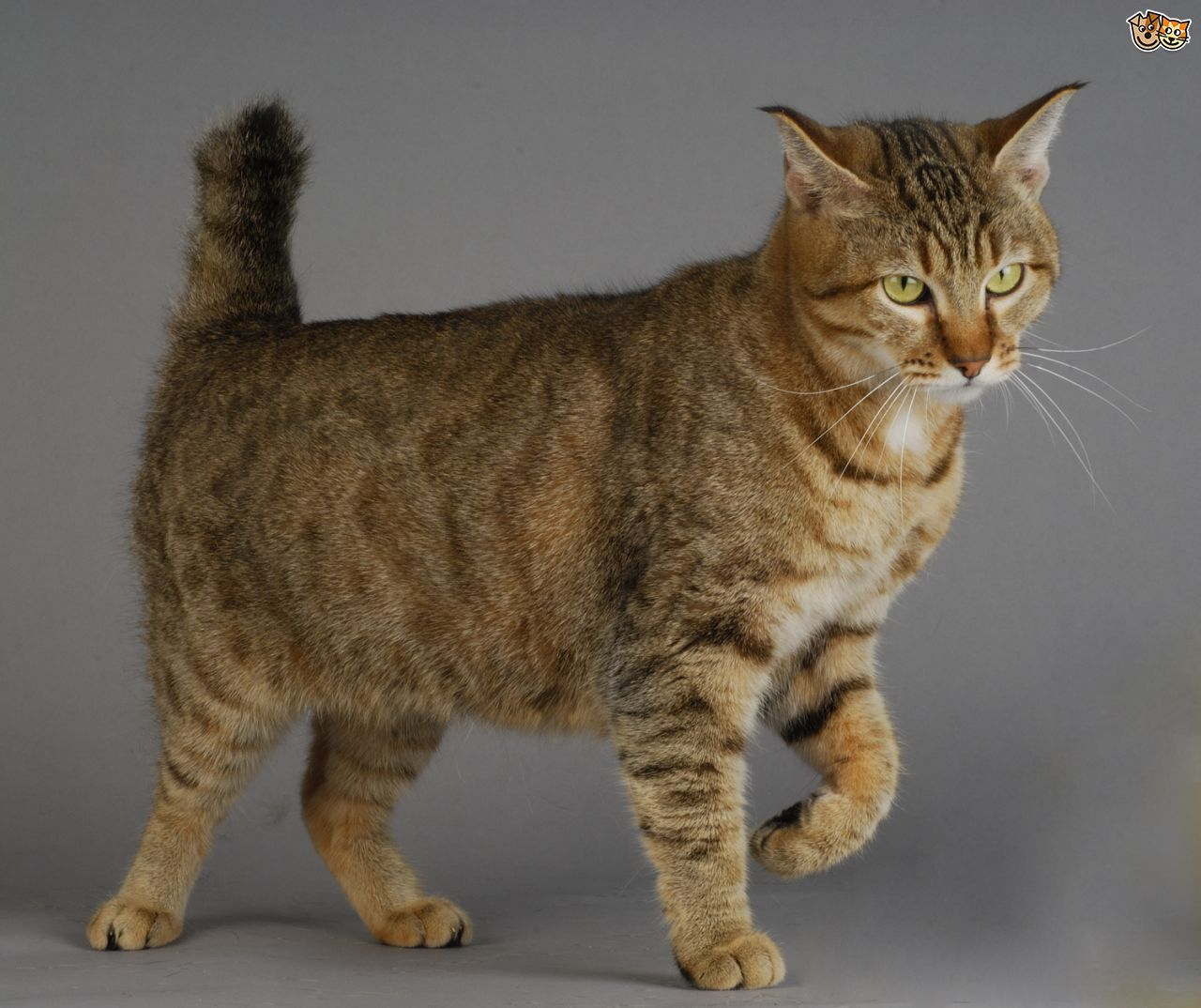 large domestic cat breeds Large Domestic Cat Breeds With