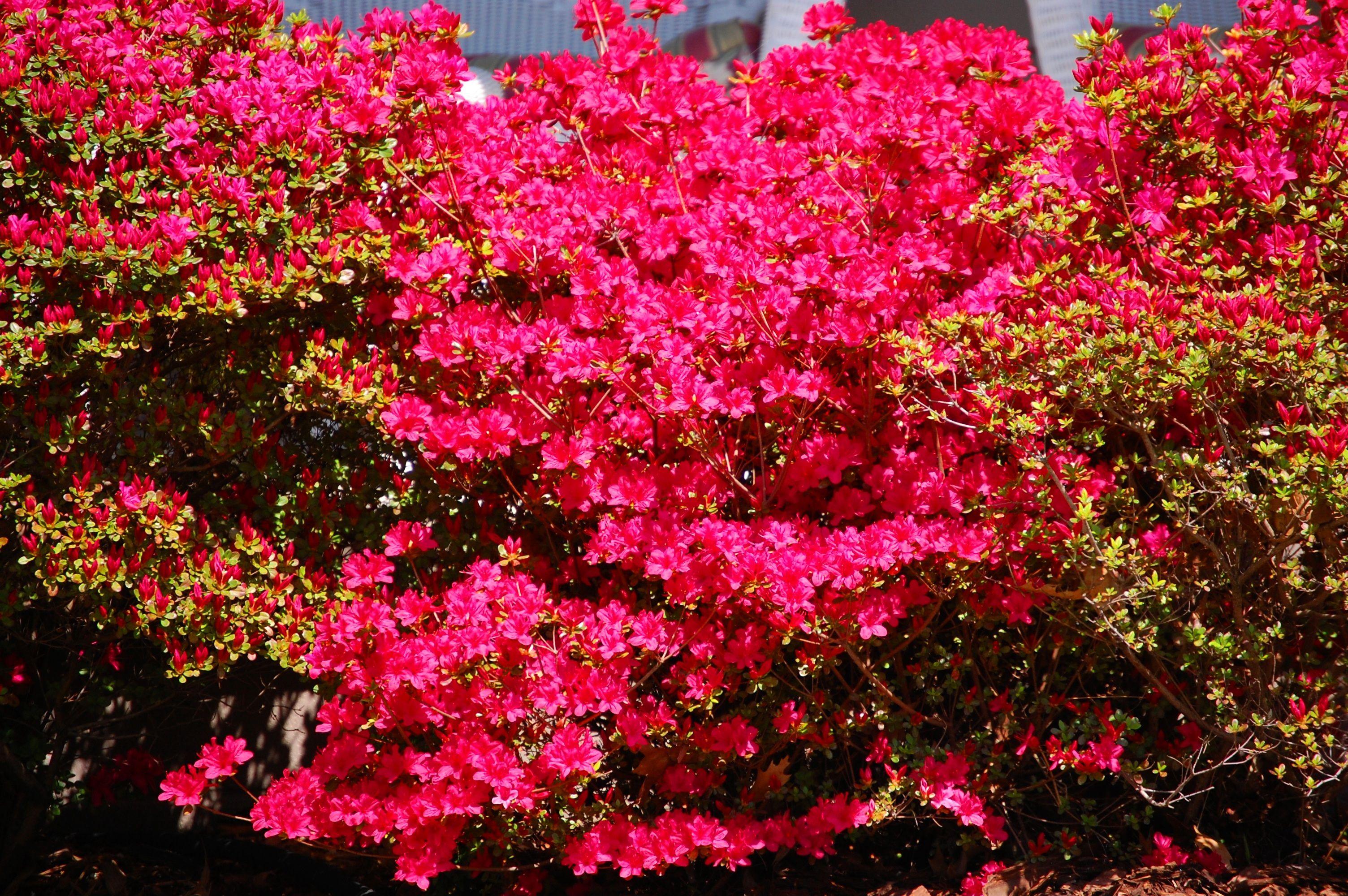 Azaleas in bloom in Charleston, Missouri Flowers, Trees