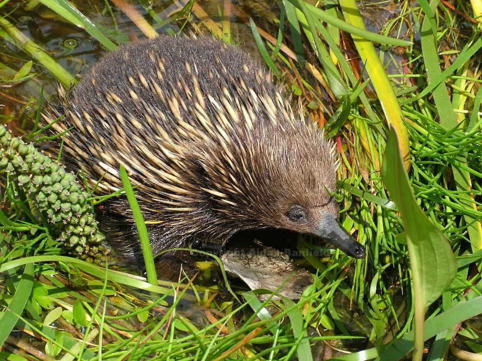 Swamp Animals and Plants Echidna going for a dip in a