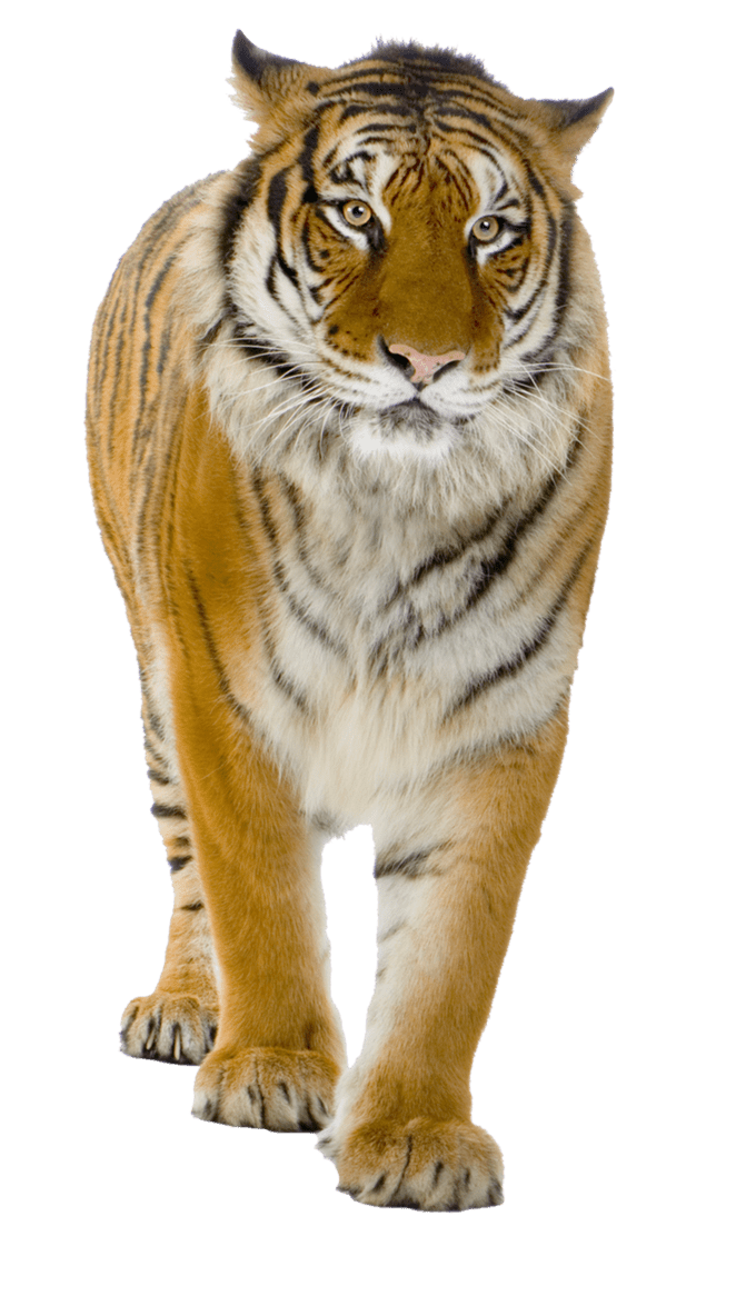 Tiger PNG by LGDesign on deviantART templates