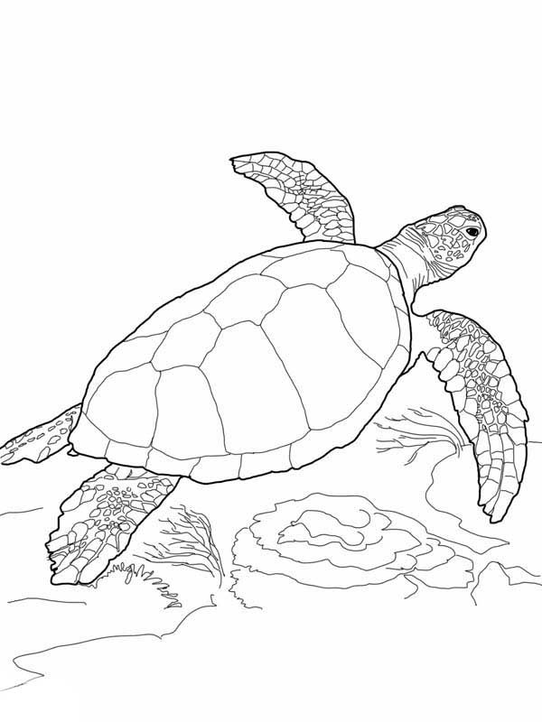 sea turtles turtles and coloring pages on pinterest