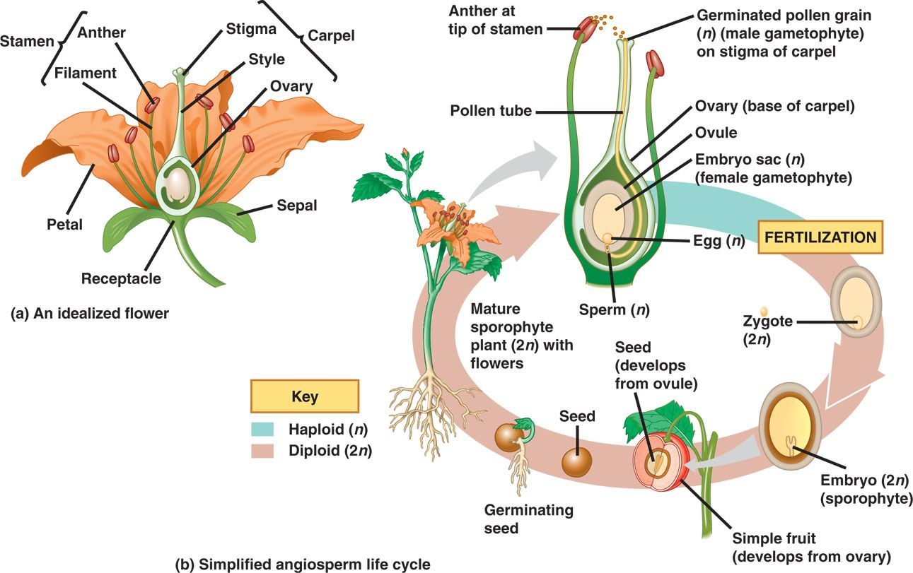 Plant reproductive system Plant Reproduction dd