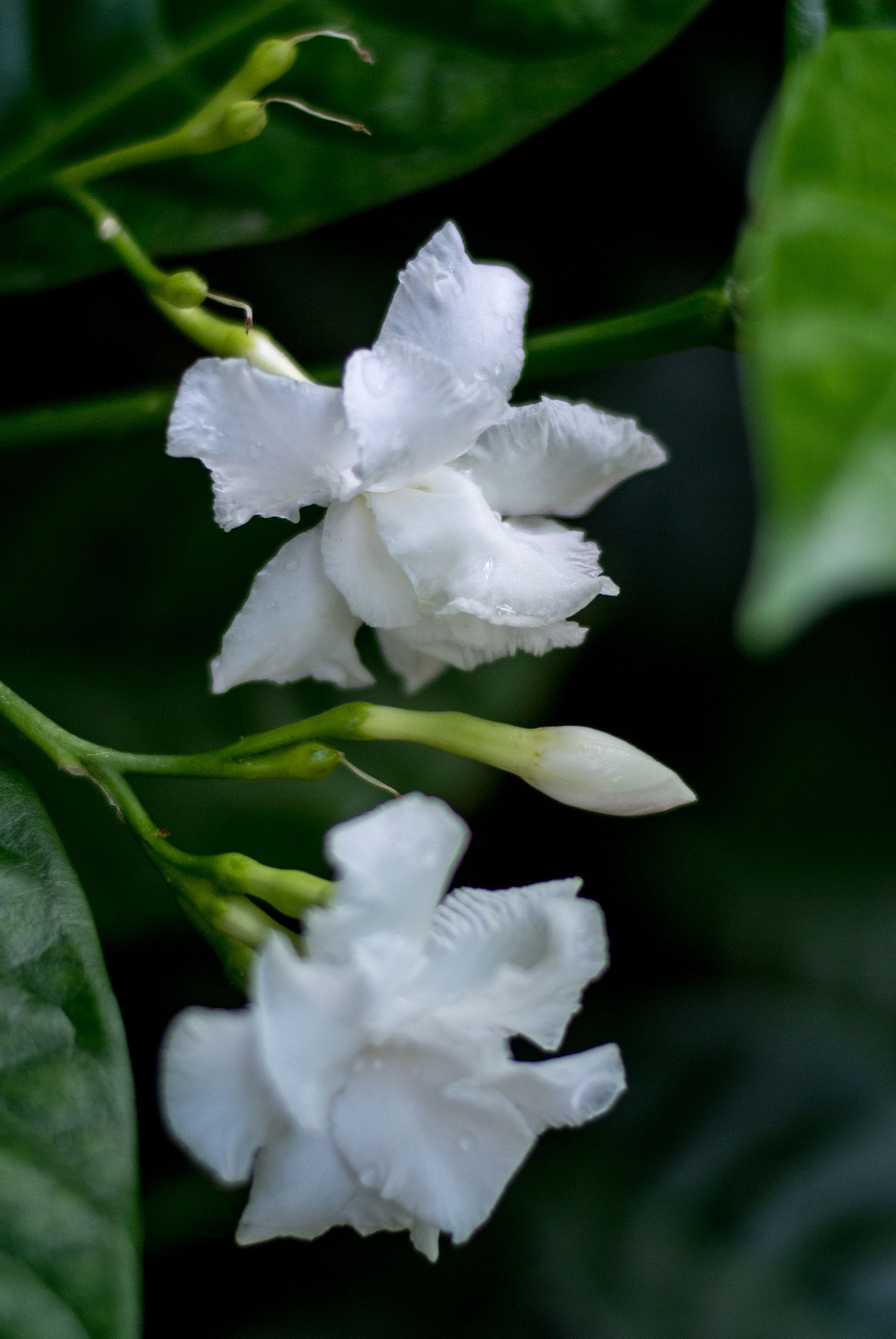 Crape jasmine Jasmine, Flowers and Beautiful flowers