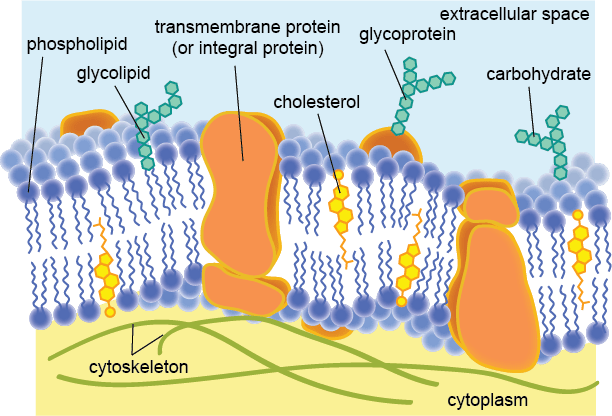 The Plasma Membrane Shmoop Biology diagram of the