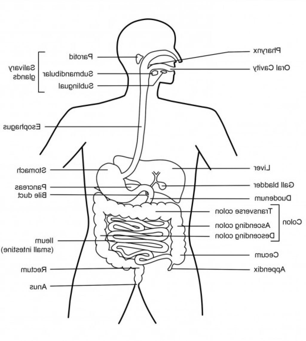 Body Diagram Of Digestive System