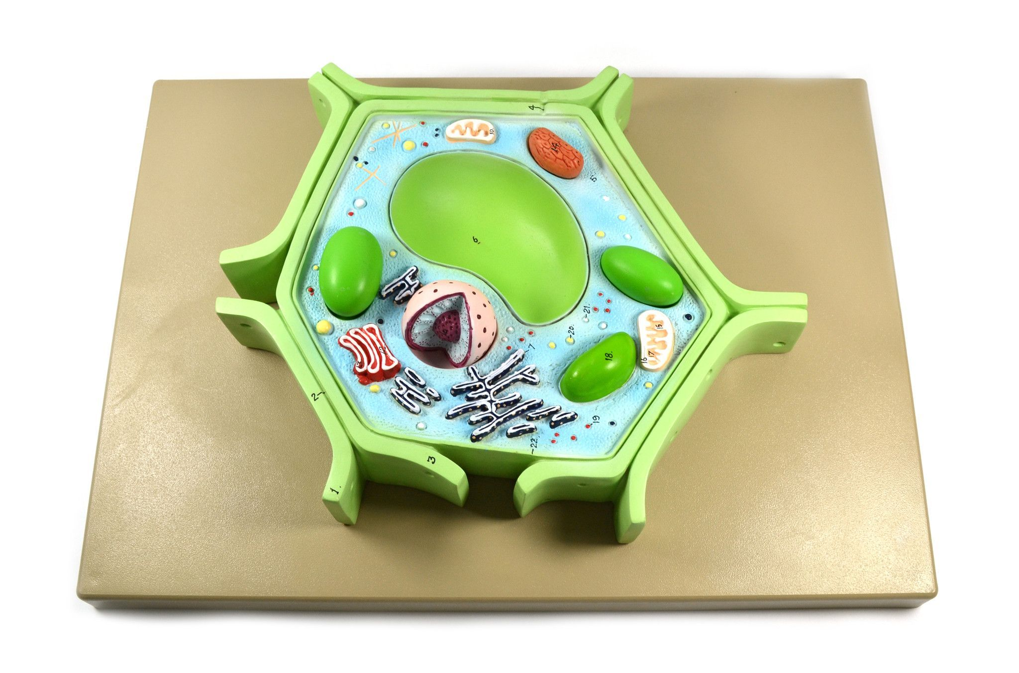 Eisco Labs 4 Part Plant Cell Model on base; chloroplast