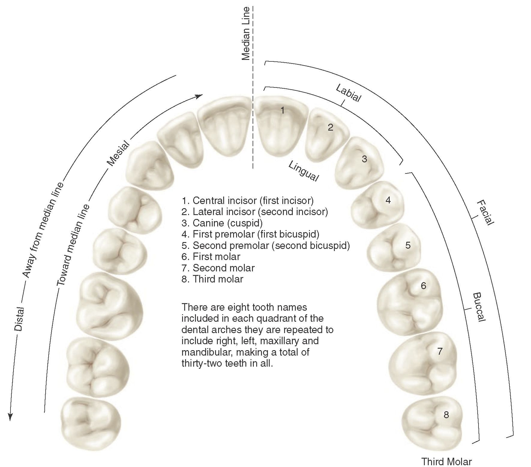 Application Of Nomenclature Tooth Numbers L1 To L8