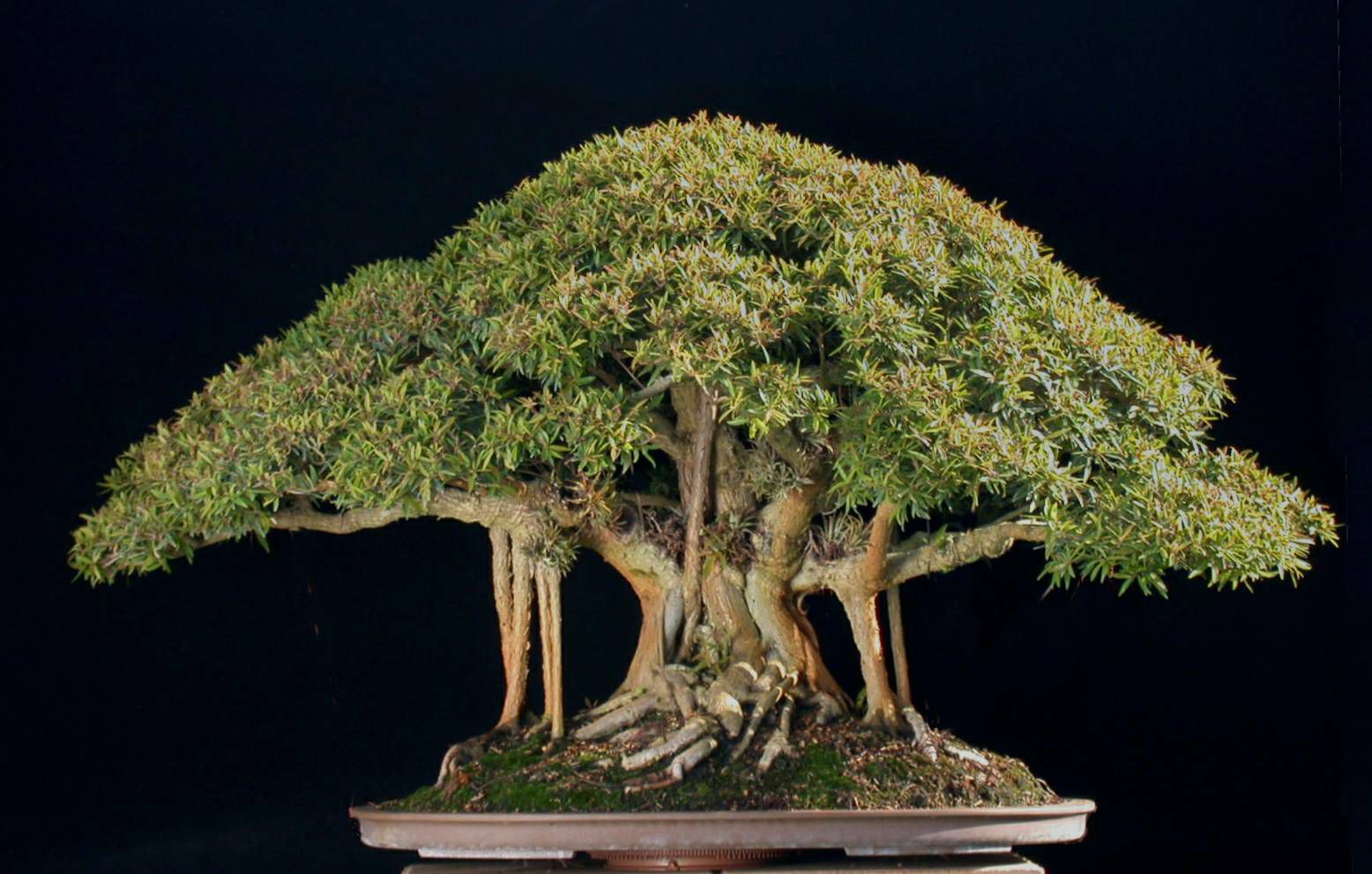 Types of Bonsai Plants Who can defy the artistry of