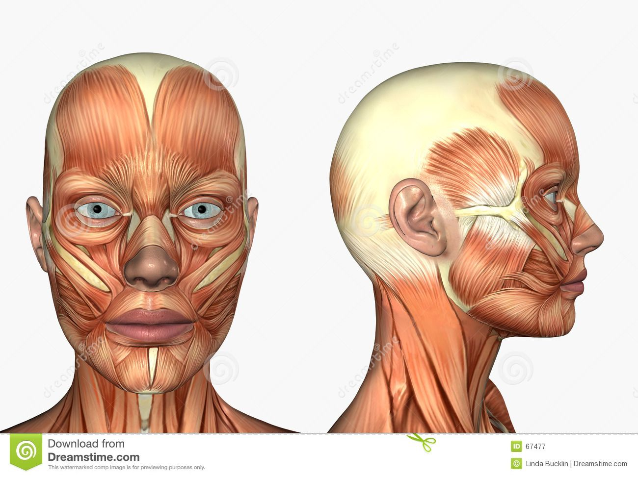 Lateral Side Facial Face Muscles Stock Photo