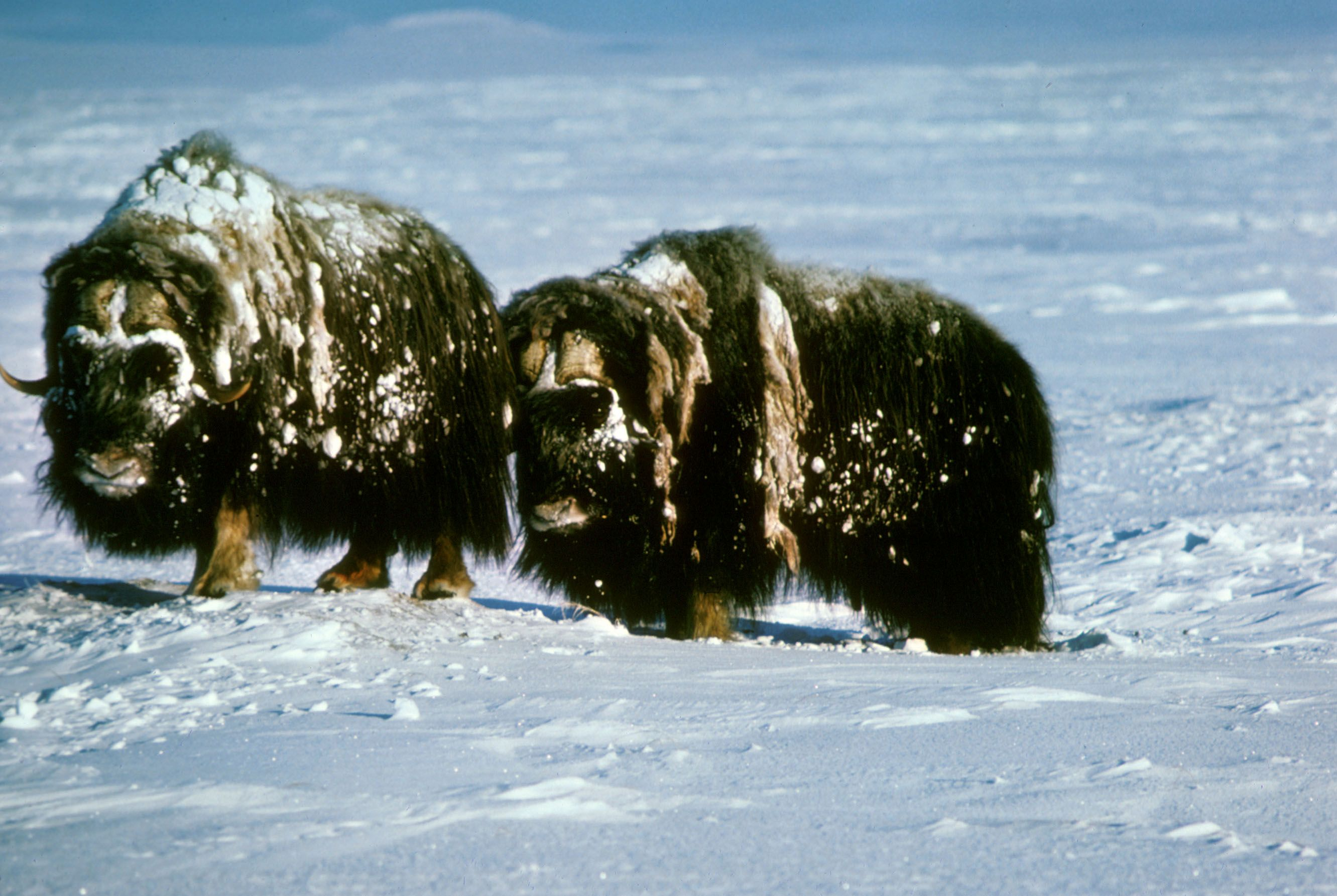 pictures of the arctic tundra Arctic Tundra Musk Oxen