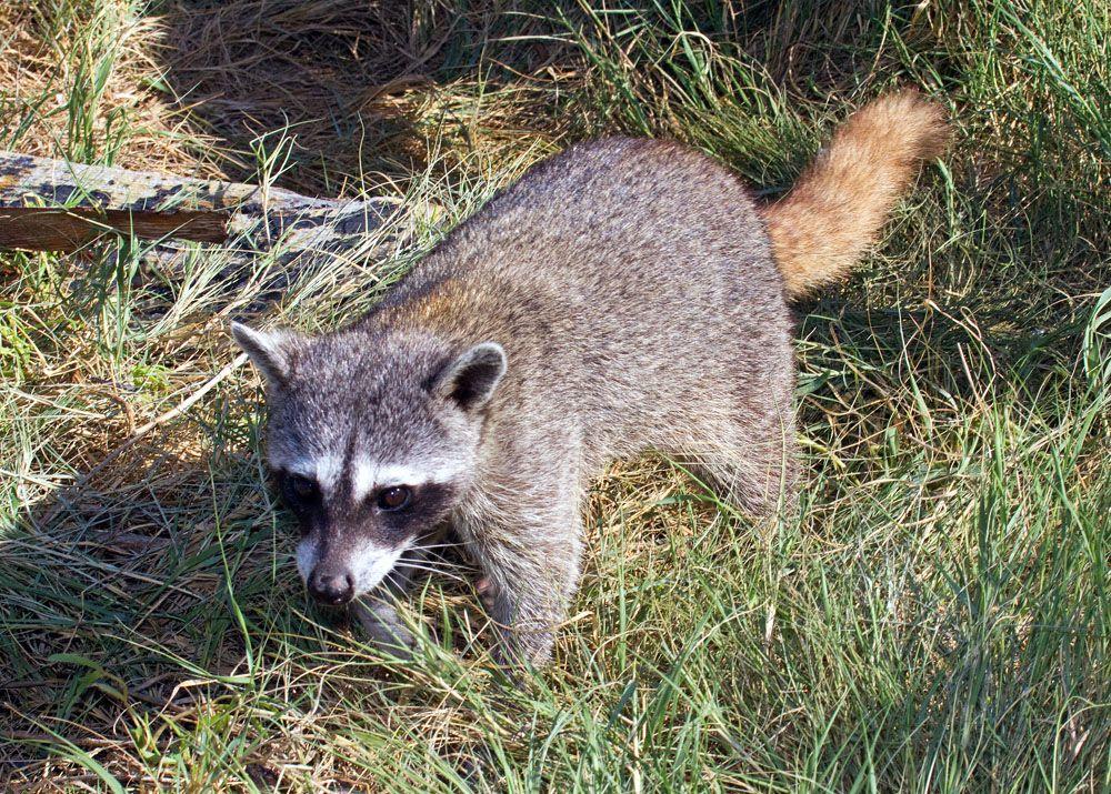 Procyon pygmaeus, Cozumel or Pygmy raccoon, Cozumel