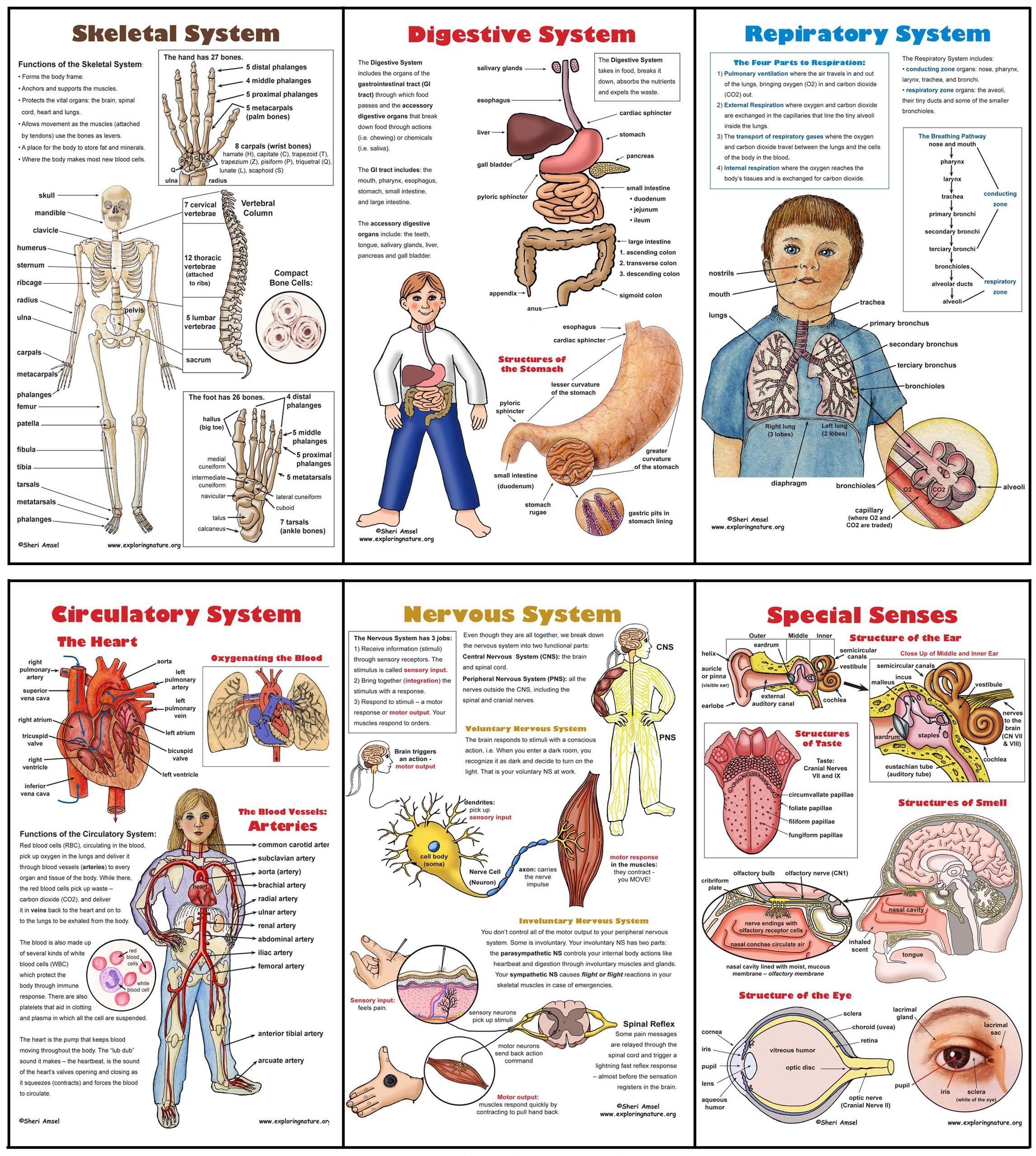 Inner Body Parts