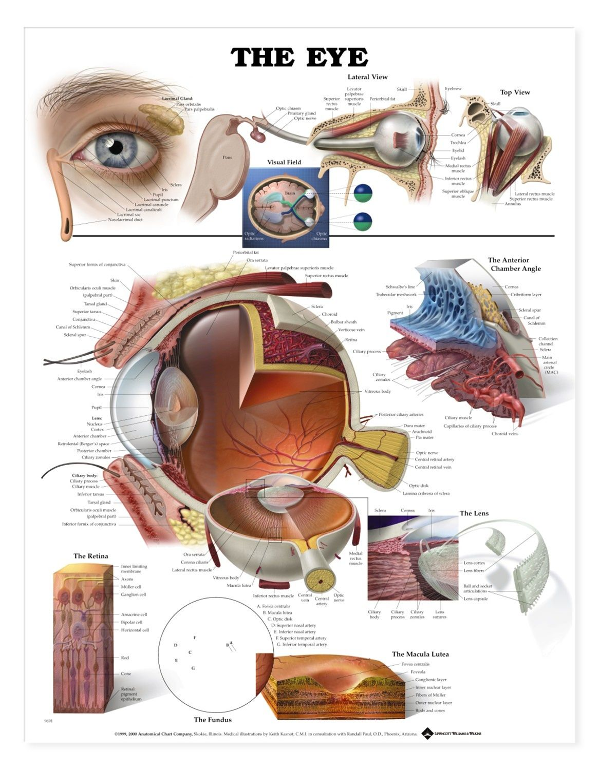 This Popular Chart Of The Eye Has Illustrations By Award