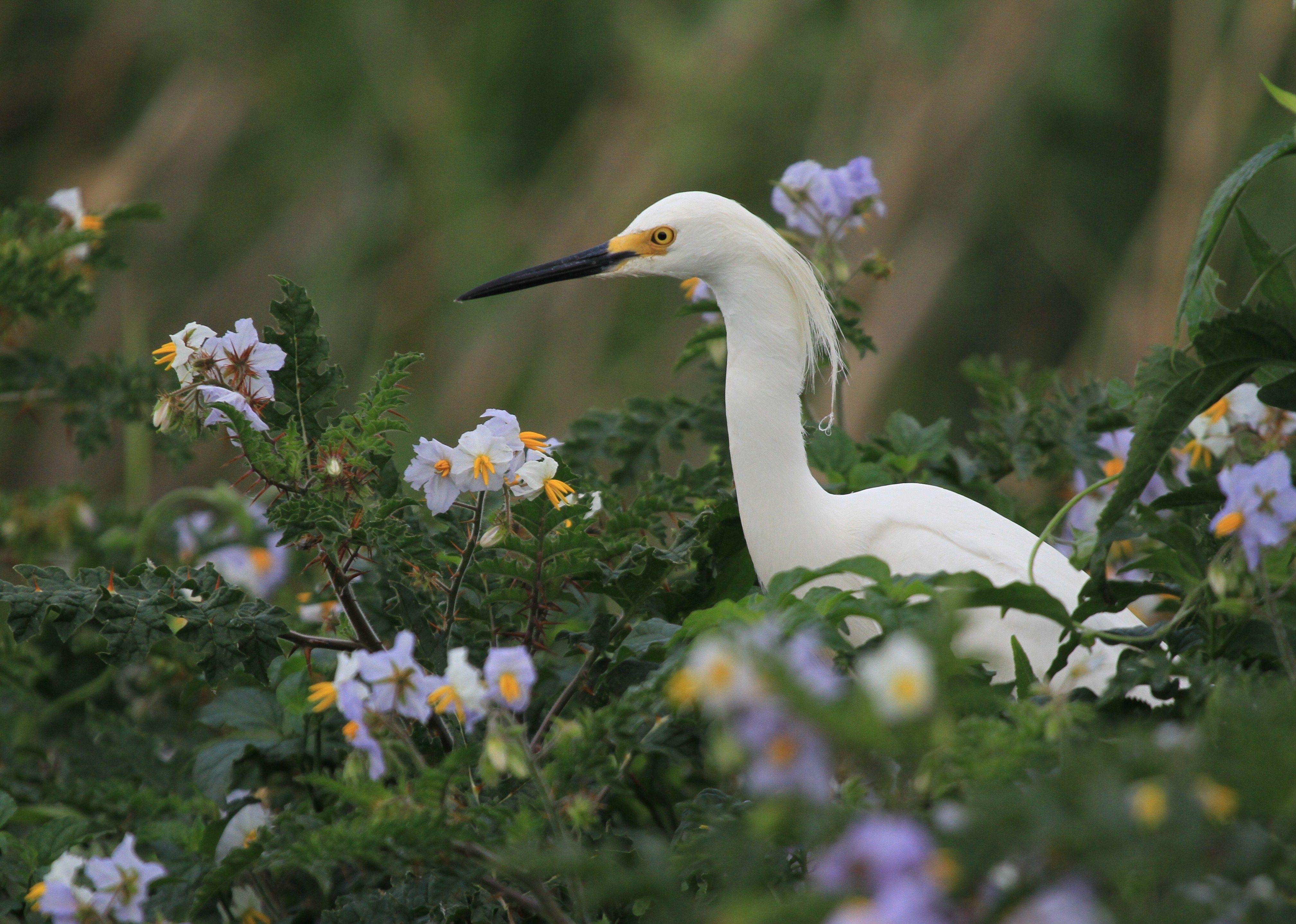 Snowy Egret on Goat Island in Mobile Bay