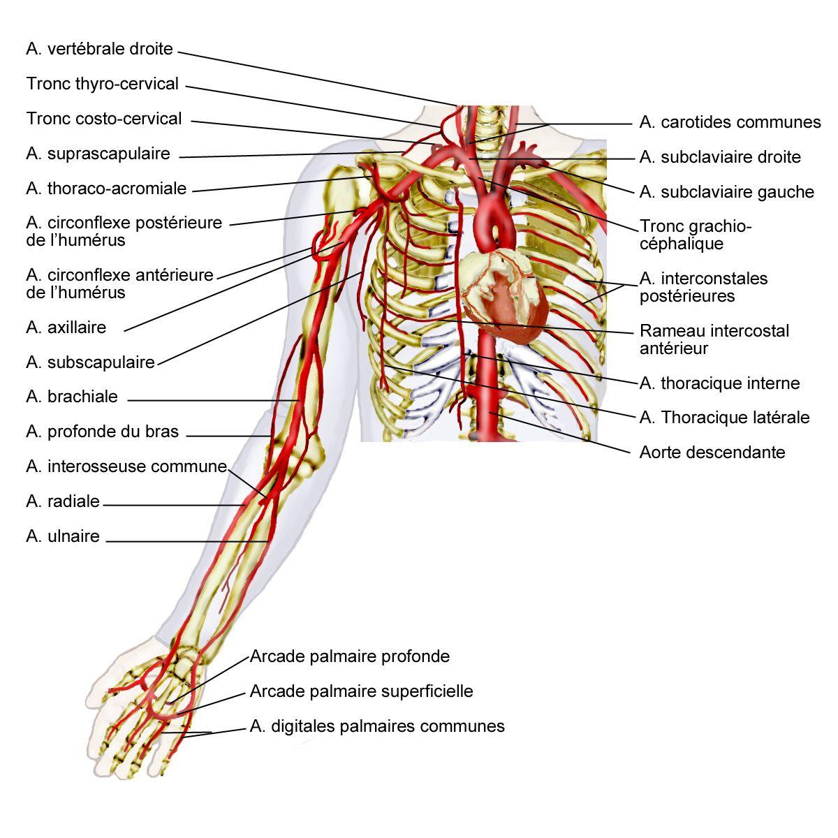 L Artere Radial