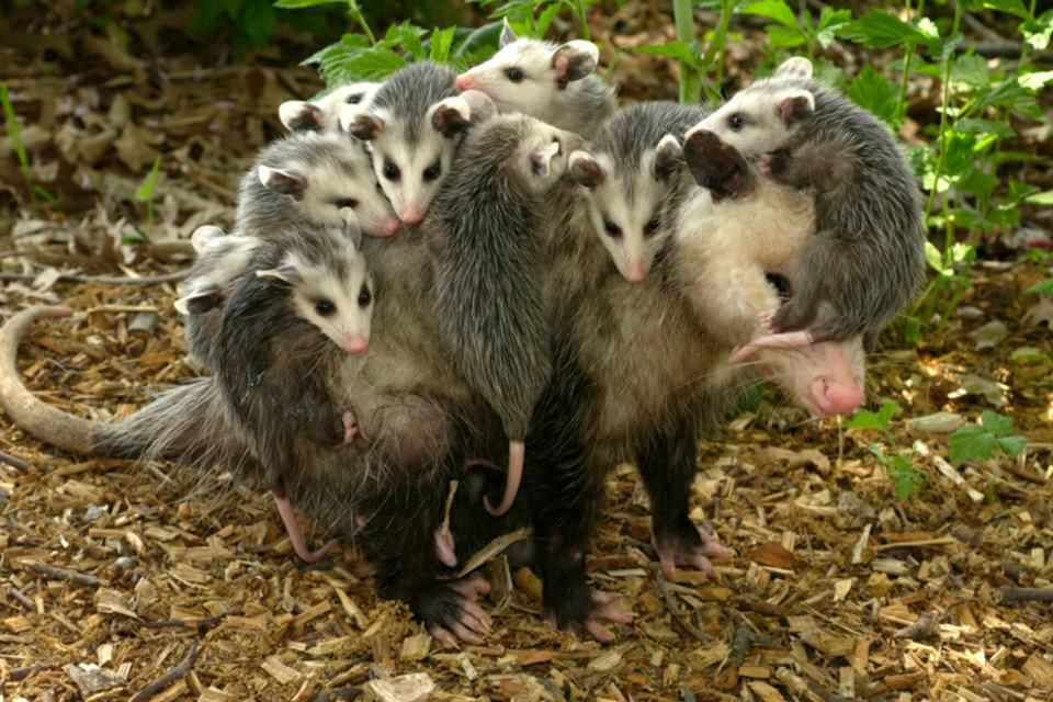 possum and her babies. its incredible how these little