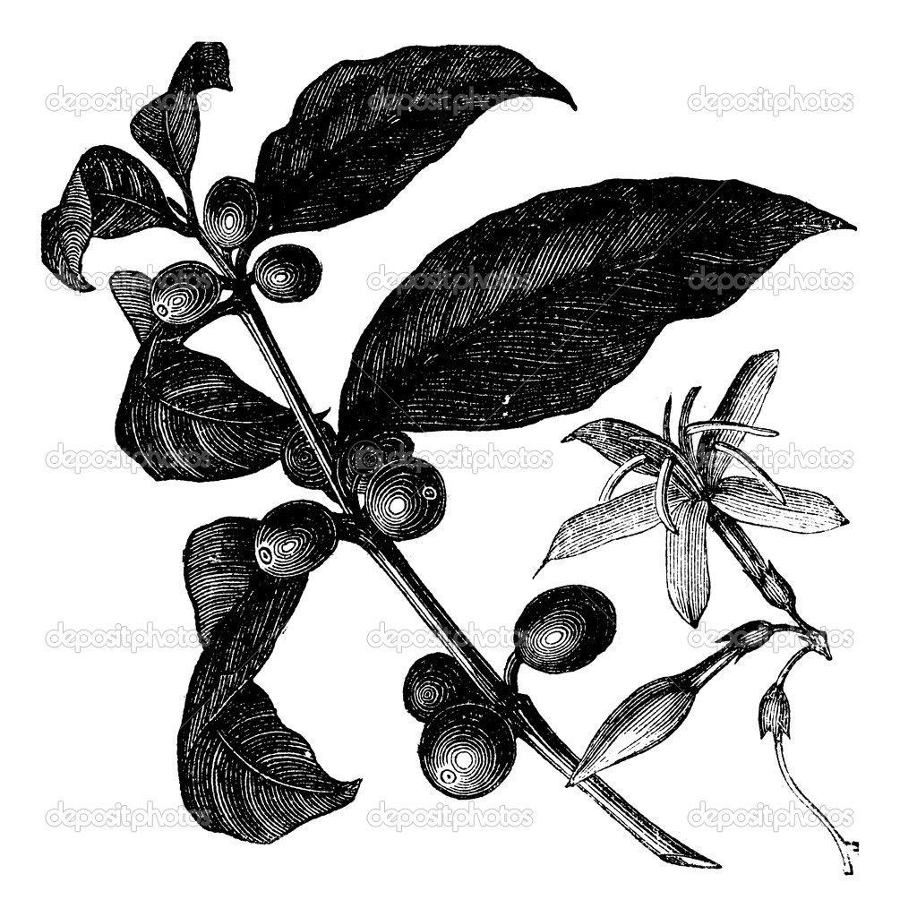 Coffea, or Coffee shrub and fruits, vintage engraving