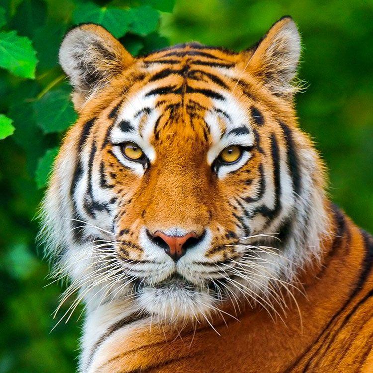 tigre Pesquisa Google Fotografias Animais Pinterest