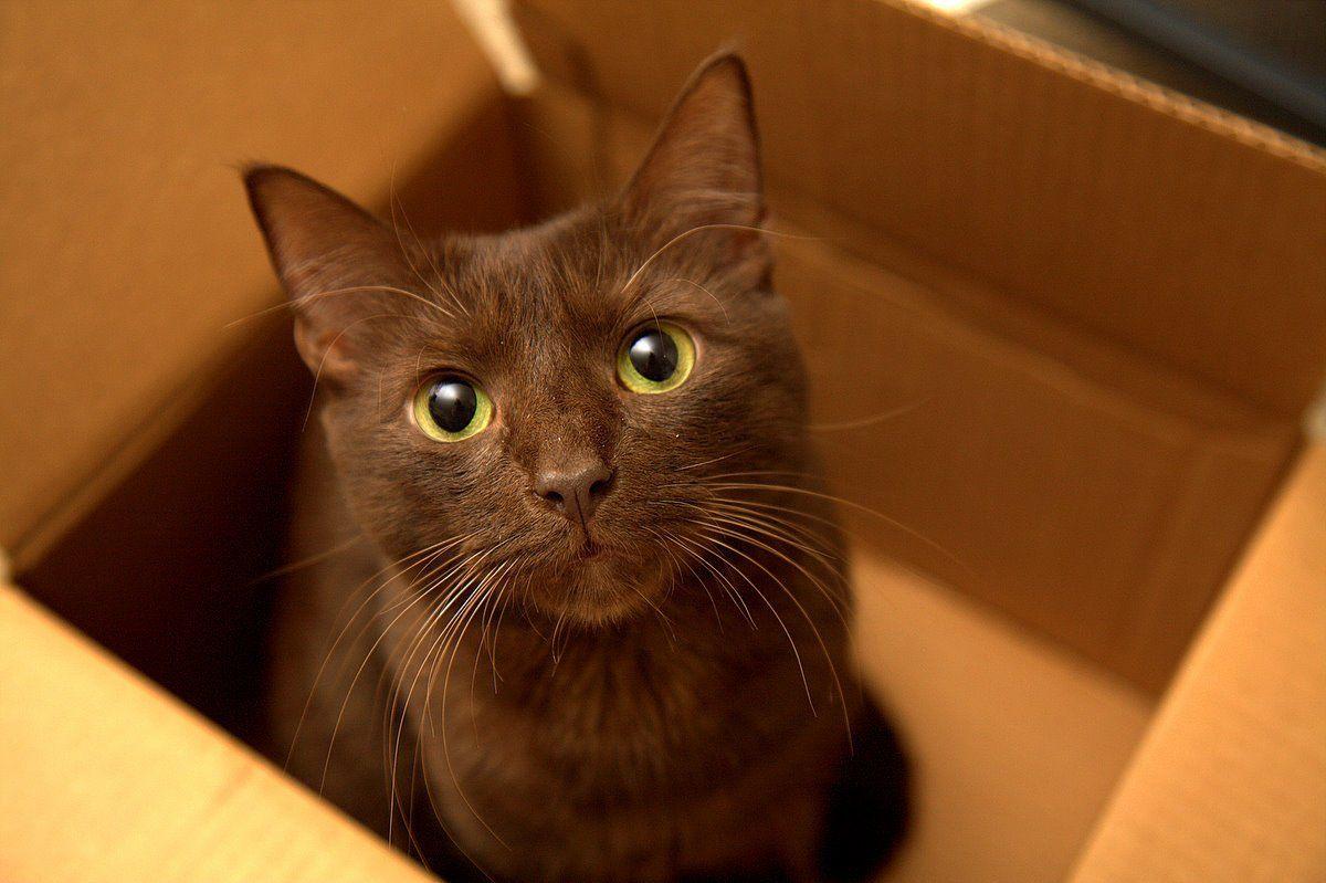Havana Brown Cat, a very rare breed Beautiful Havana