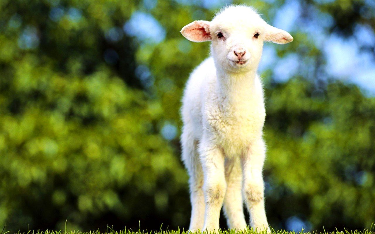 Cute Goats Wallpapers You can get most recent and also Hd