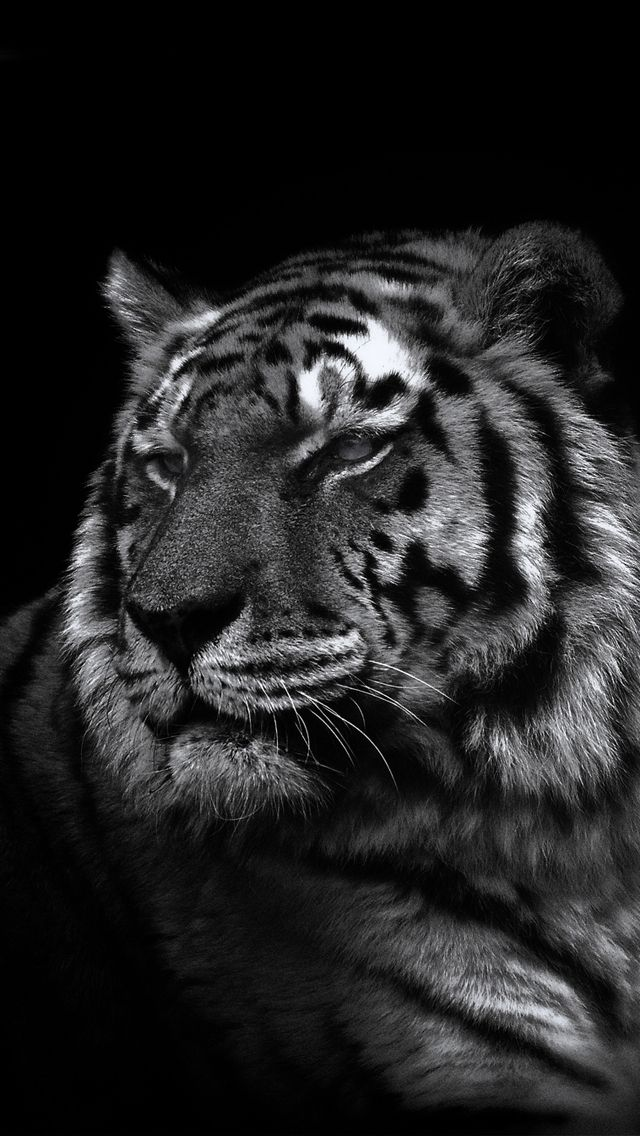 Iphone 5 wallpaper. Tiger. Iphone 5 wallpapers