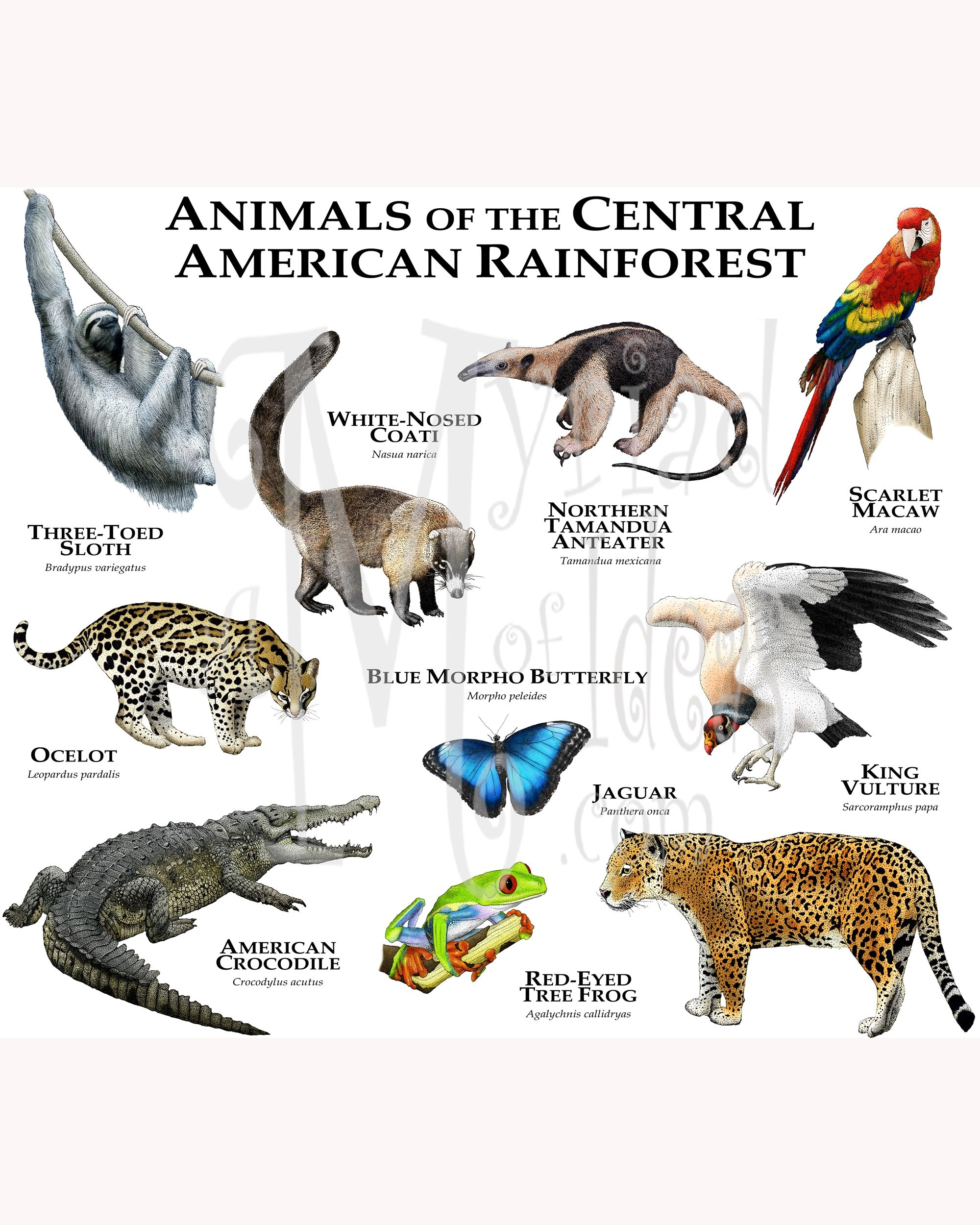 Animals of the Central American Rainforest this collage