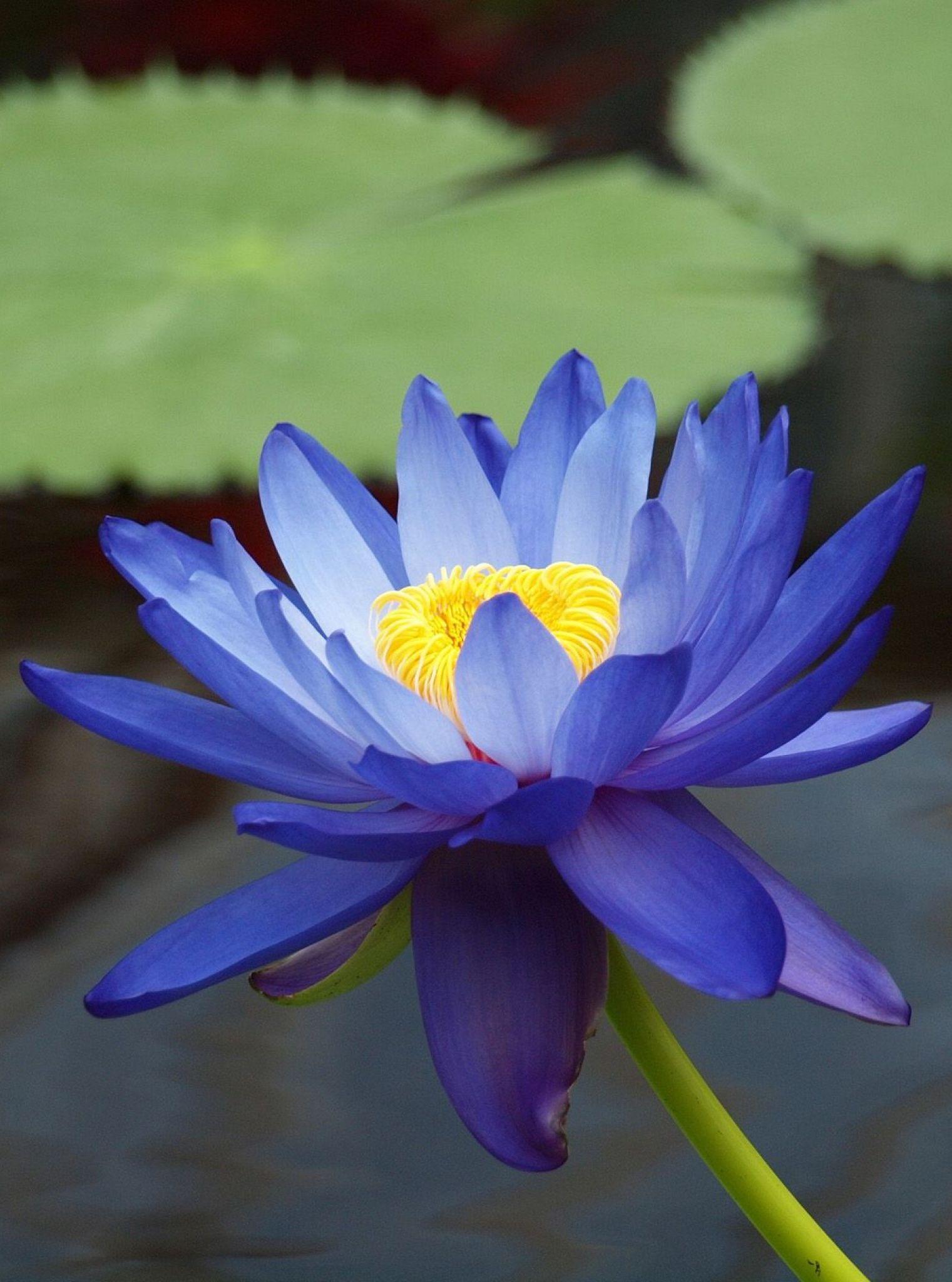Nymphaea gigantea Australian blue waterlily Nymphaceae