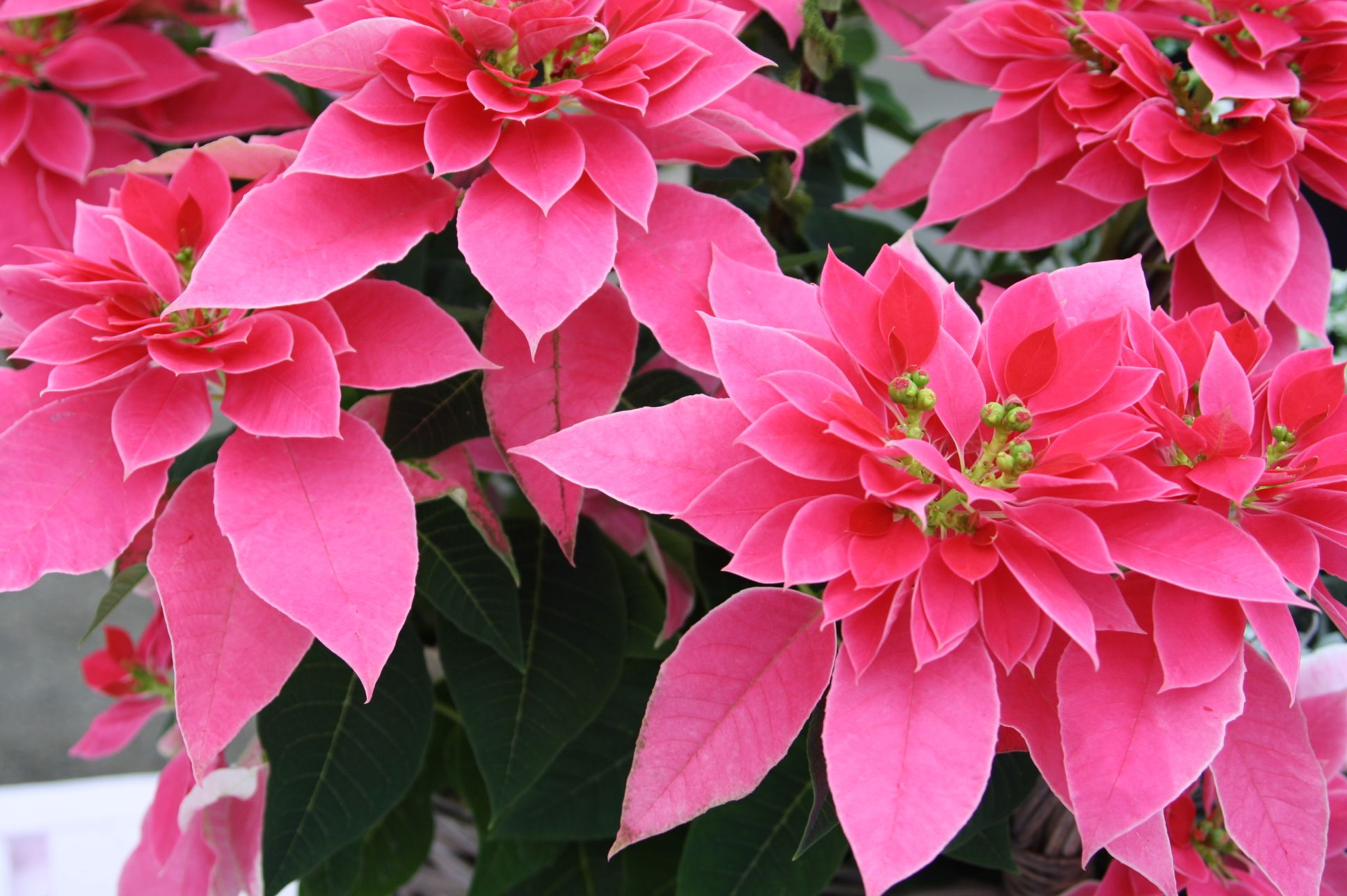 California Spring Plant Trials Poinsettia, Flowers and