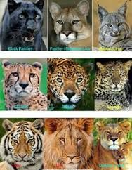 coloring pictures of cats lions cheetahs leopards tigers   Google     coloring pictures of cats lions cheetahs leopards tigers   Google Search