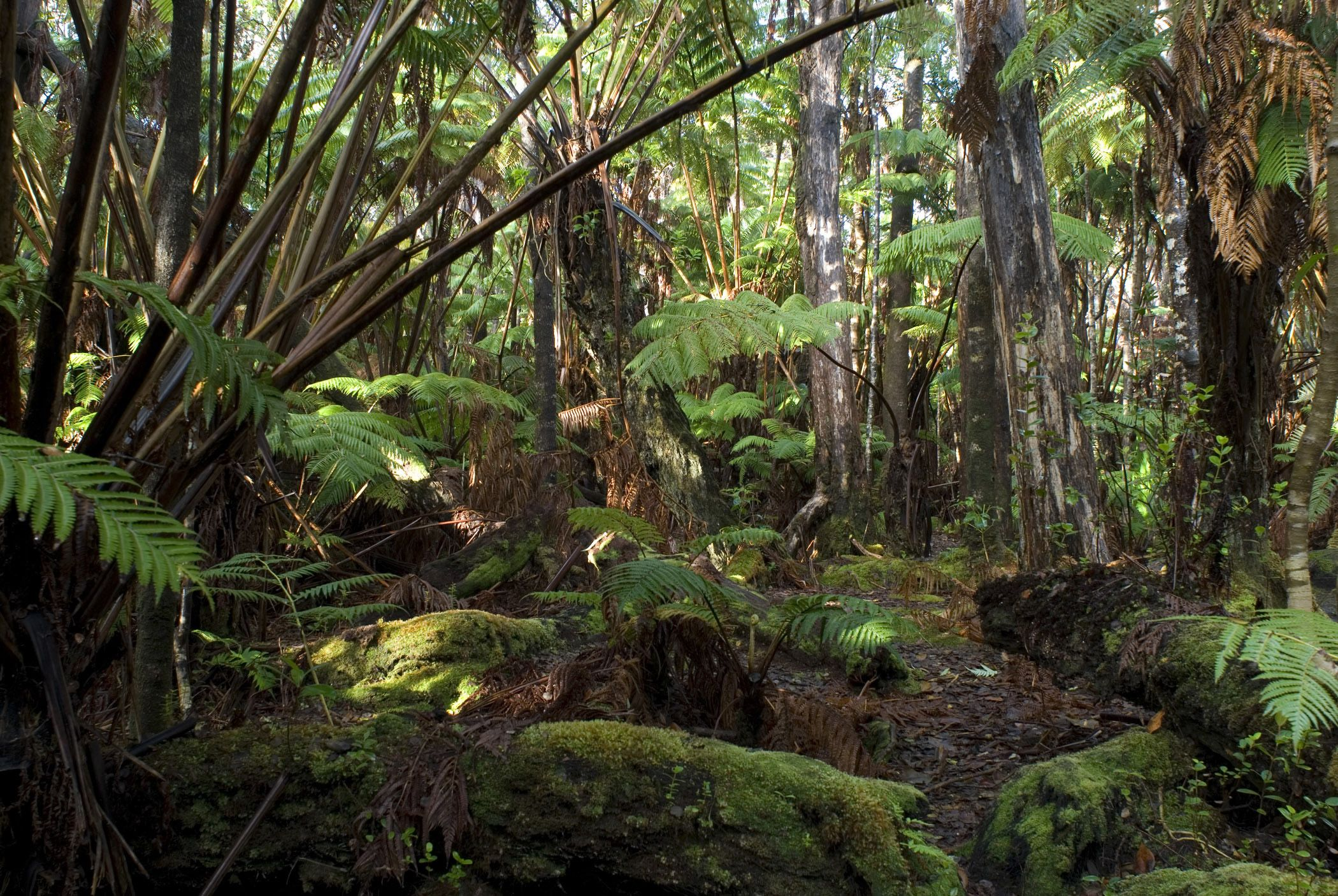 forest images Hawaiian rainforest background with dense