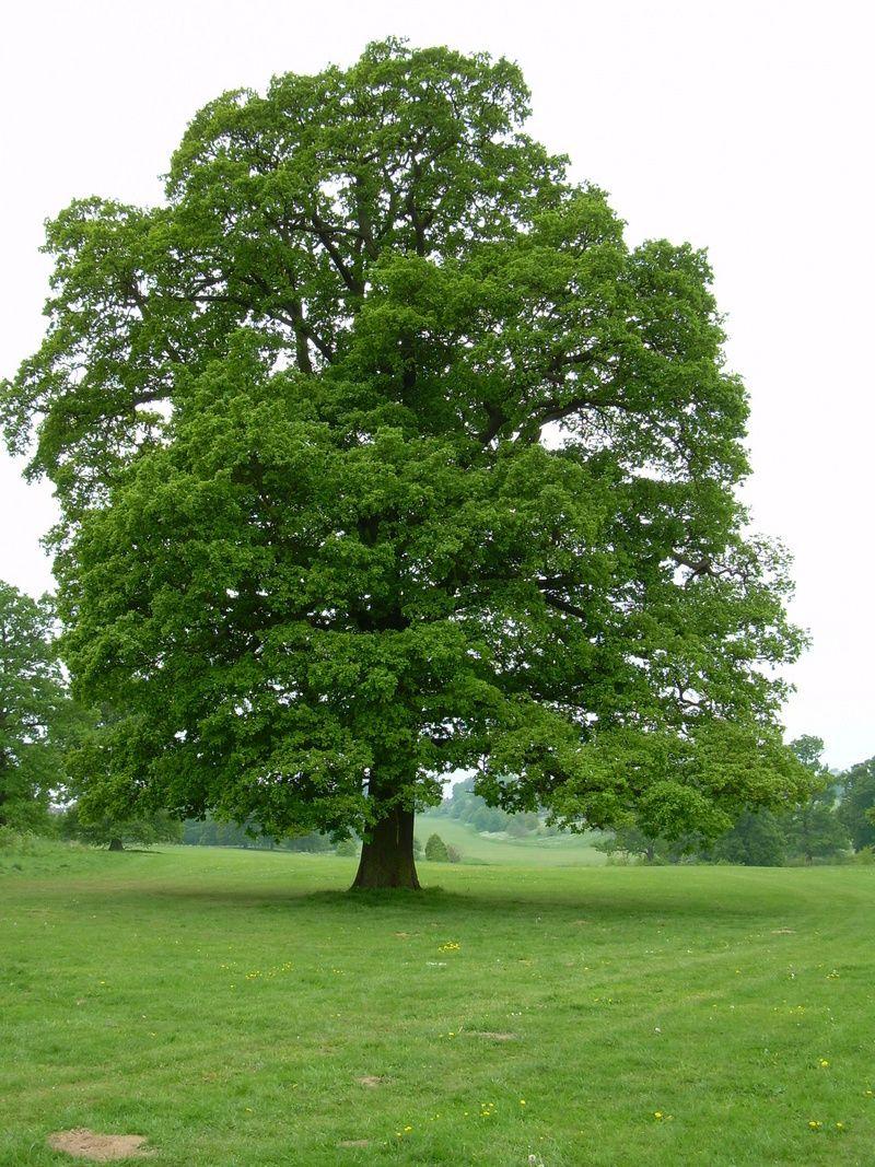 Full size picture of English Oak, Truffle Oak, Pedunculate
