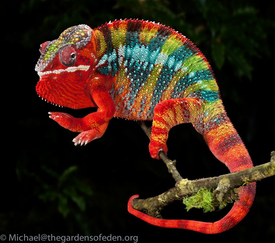 Furcifer pardalis, Panther Chameleon Ref Ideas