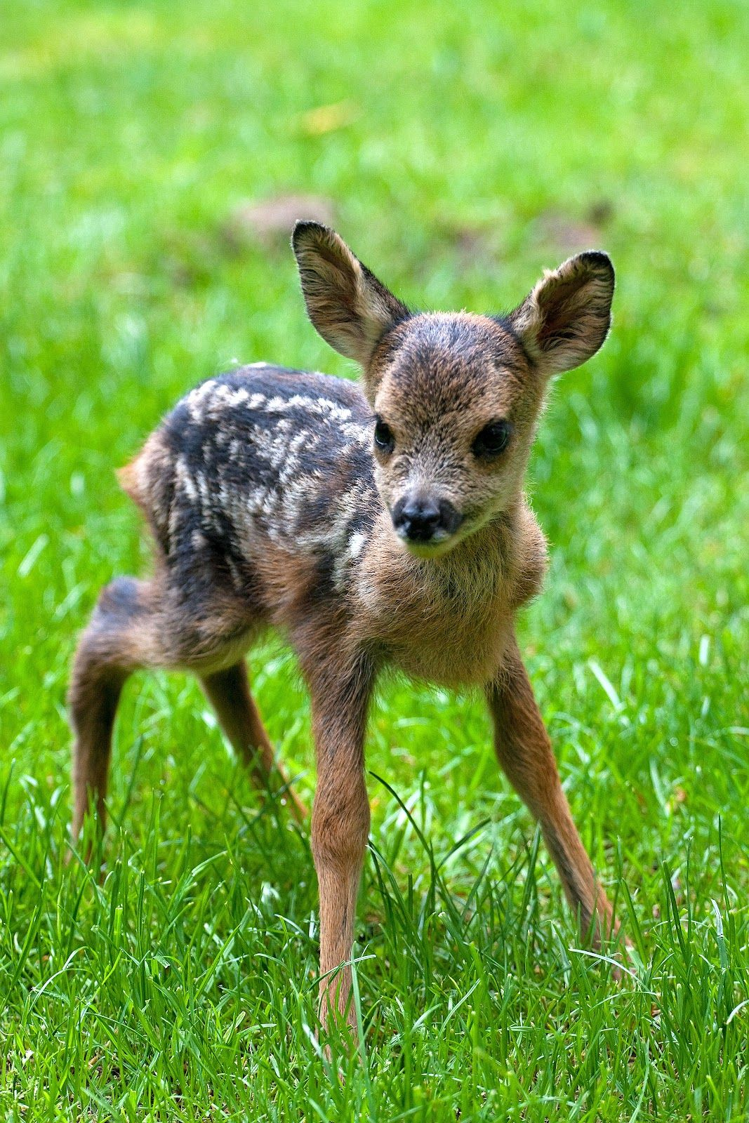 Baby Roe Deer Animals Pinterest Roe deer, Babies and