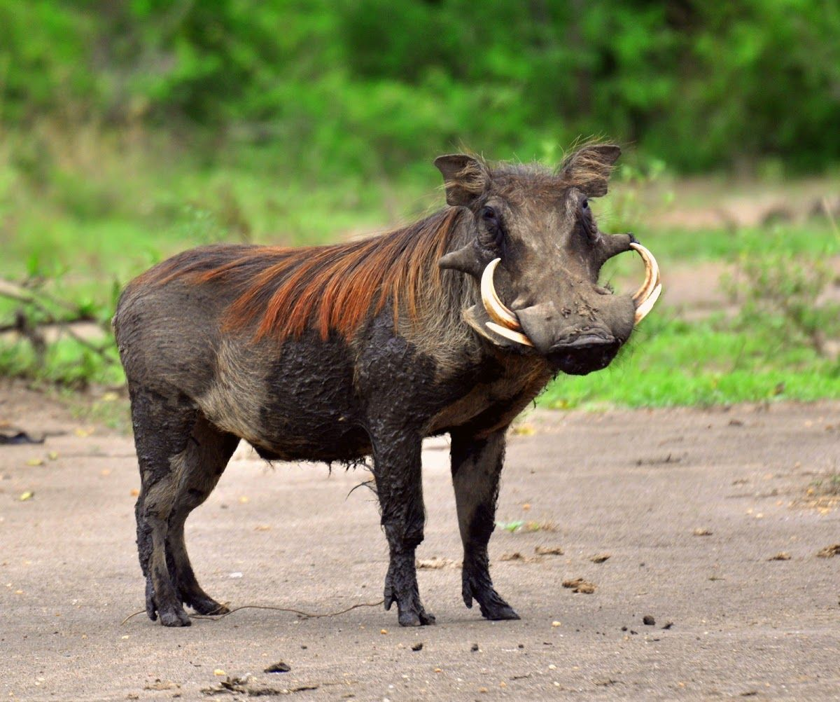 This Warthog is over populated. They live in the hot and
