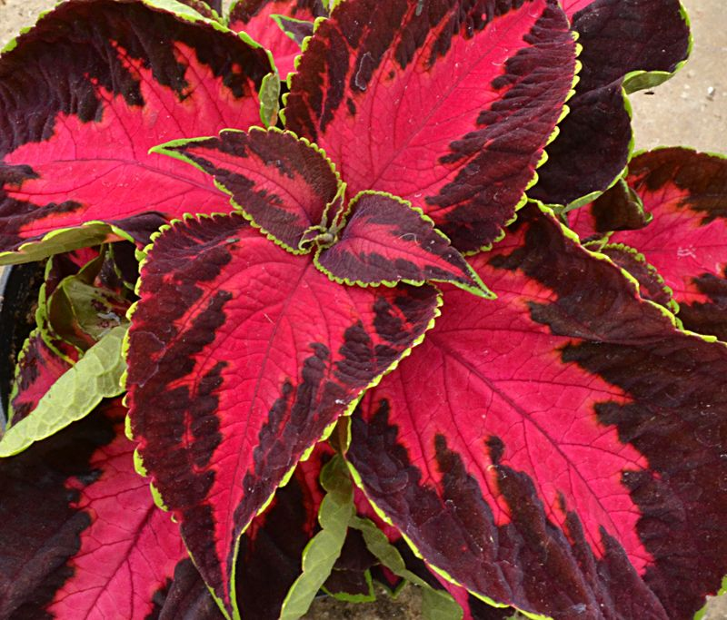 The colors in coleus 'Chocolate Covered Cherry' are mouth