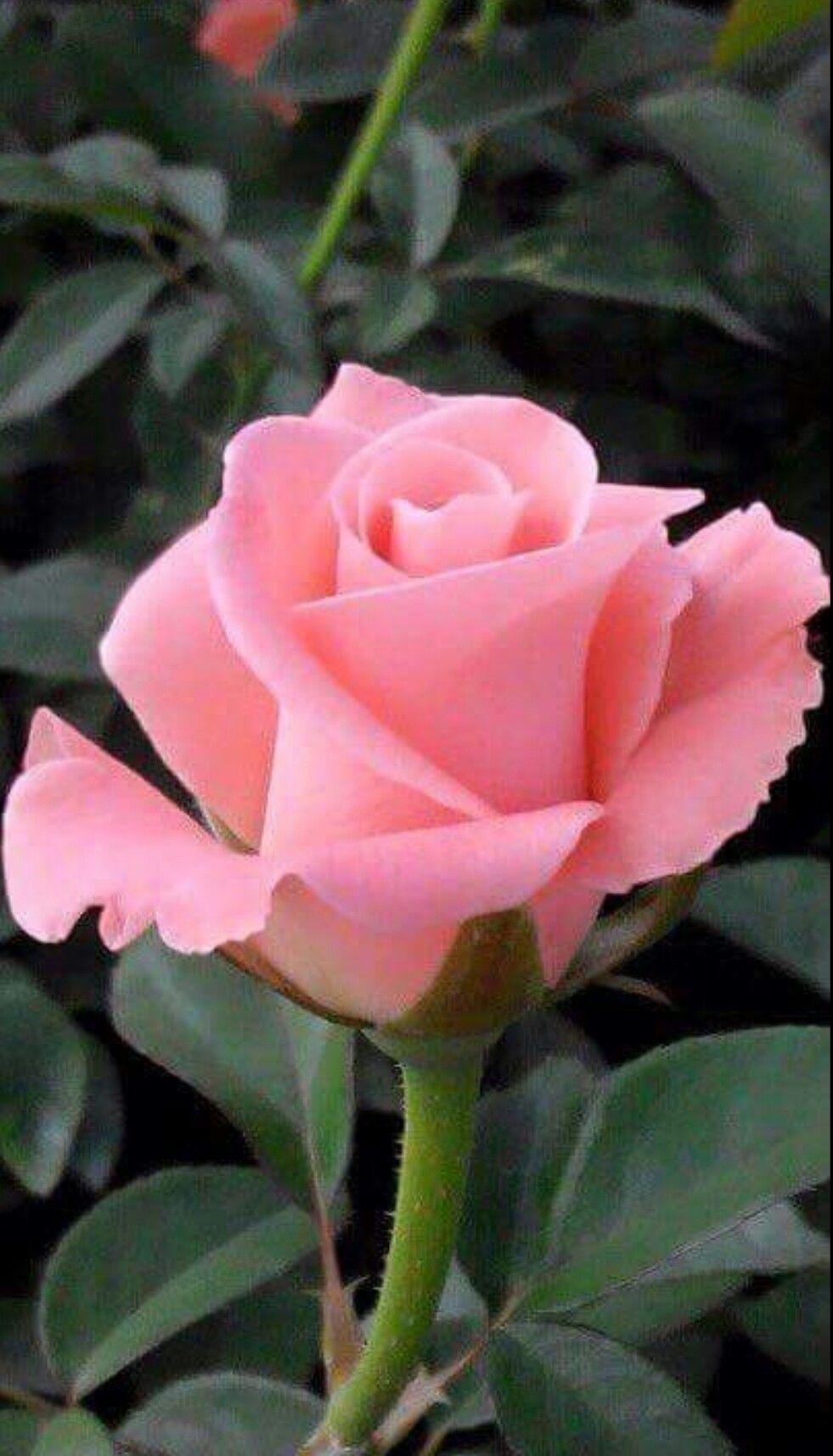 Resultado de imagem para good morning orange rose ROSES
