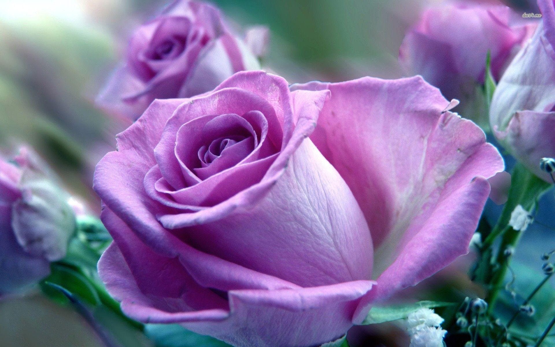 Purple and Pink Roses Wallpaper Purple rose wallpaper