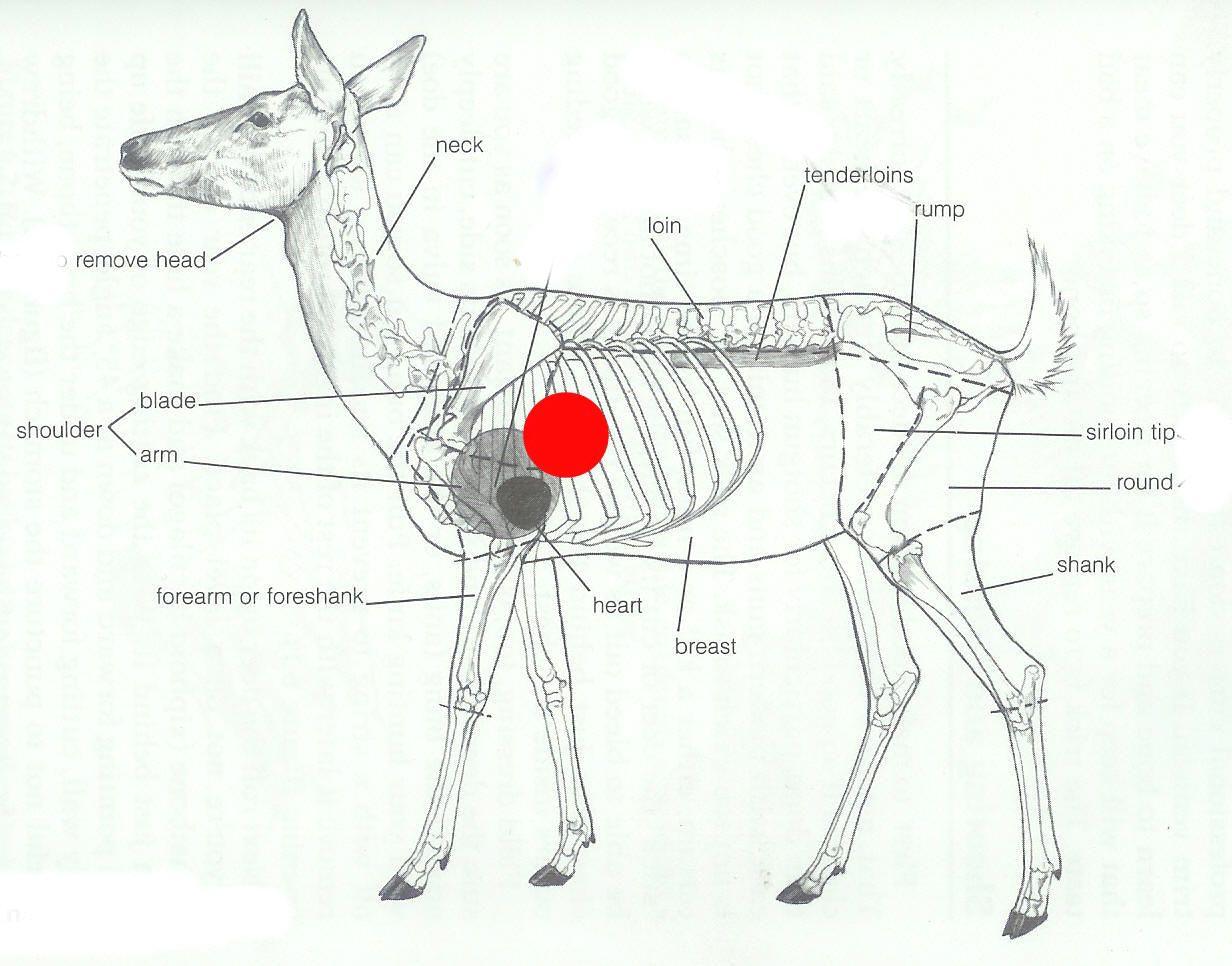 Deer Anatomy 966 Anatomy For Art