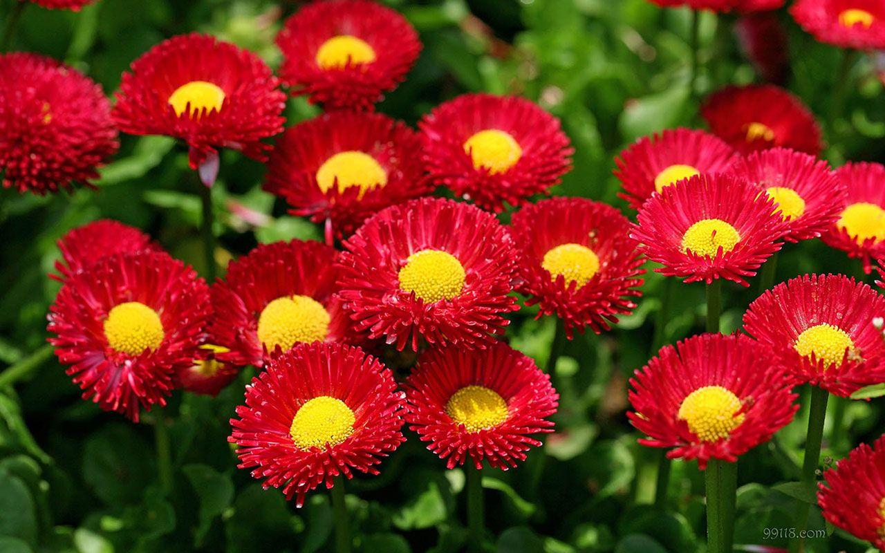 Beautiful Red Daisy Photo Wallpaper HD Desktop Mobile