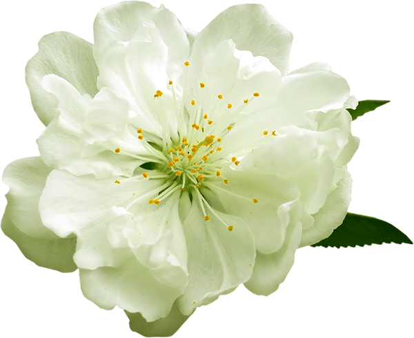 white flower png Transparent White Flower PNG Clipart