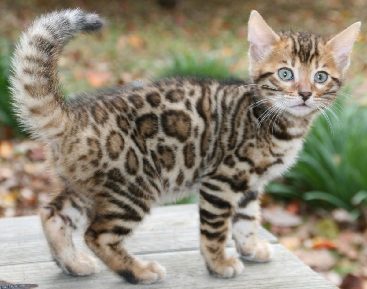 13 Smartest Cat Breed In The World Bengal kitten, Bengal