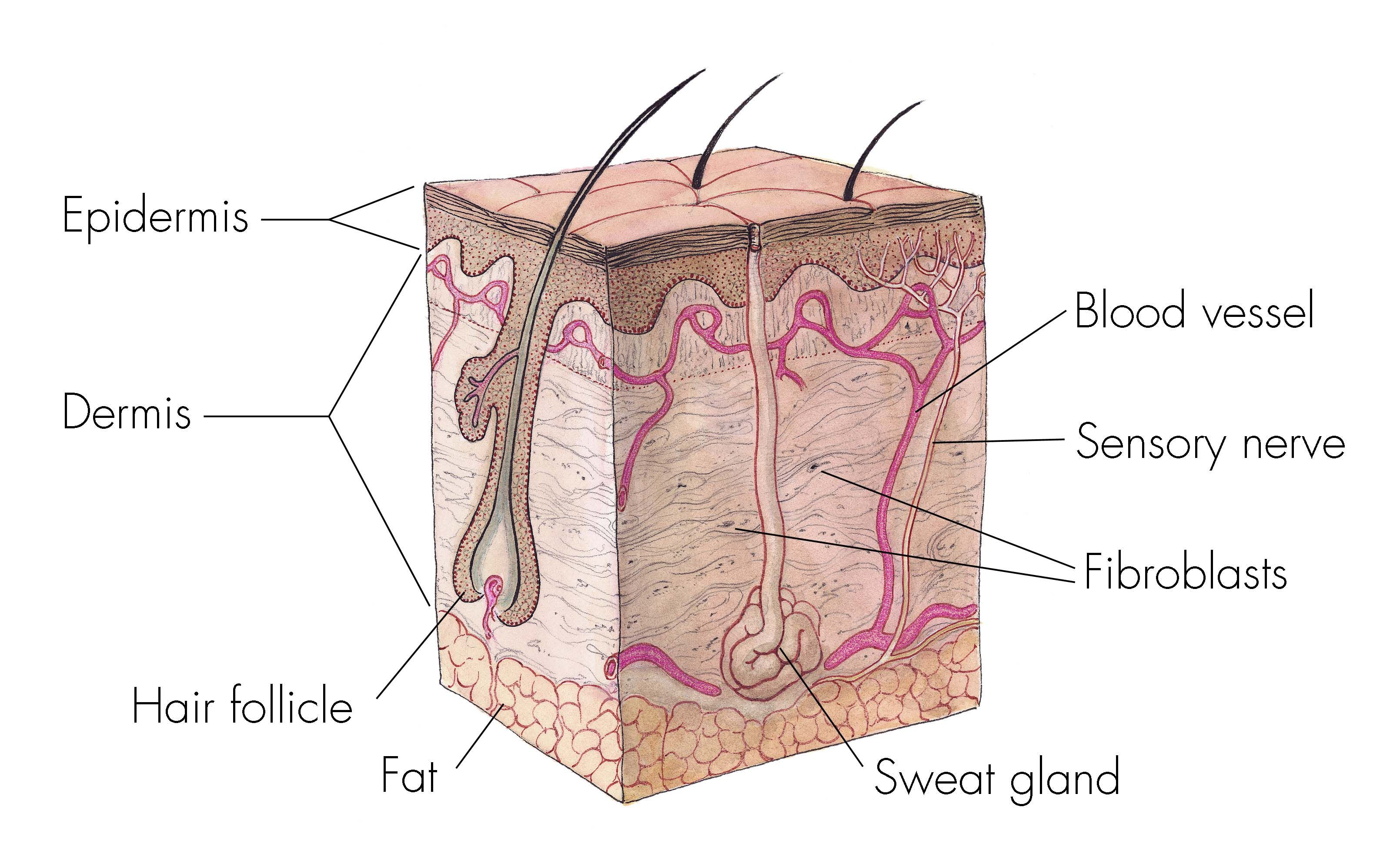 Cross Section Of Skin Anatomy Shows Layers And Different