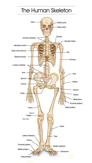 Detailed Human Skeleton Diagrams  Health, Medicine and