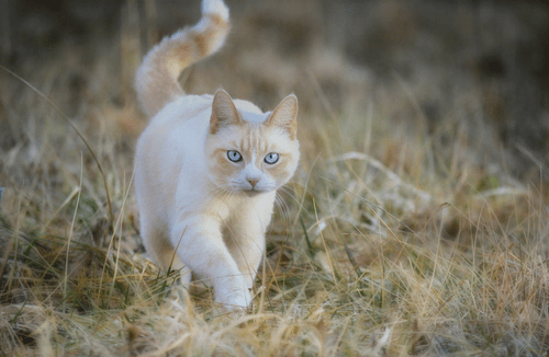 Gallery For > Cream Tabby Tumblr Warrior cats