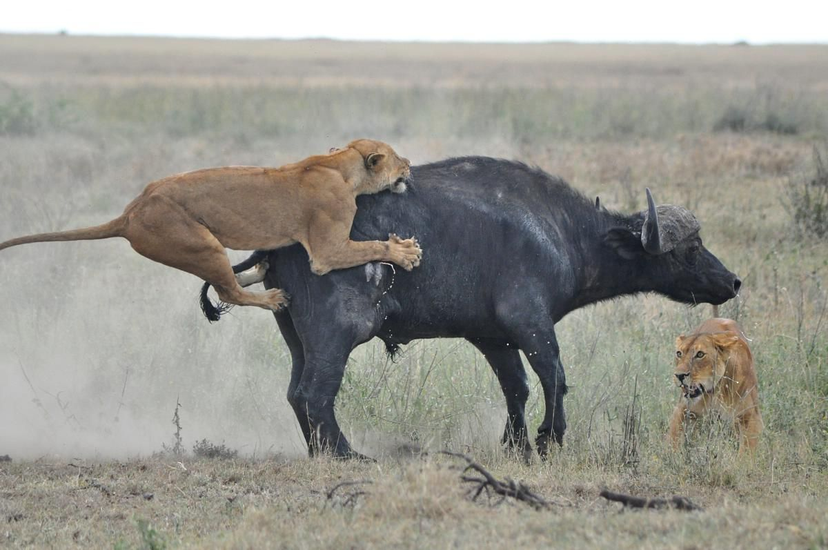 African Lion Hunting group of animal lions hunting