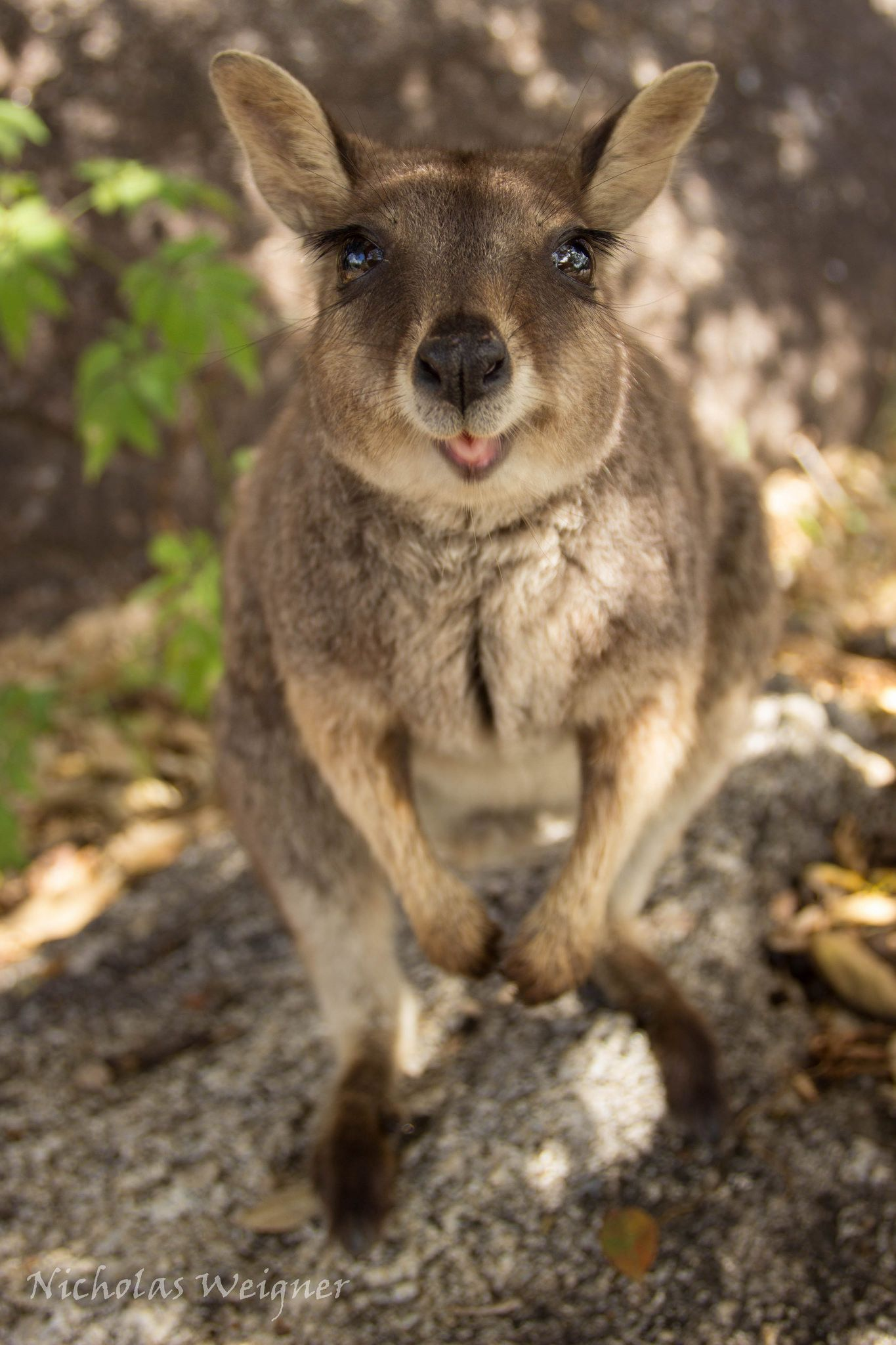 Mareeba Rockwallaby Animal and Reptiles
