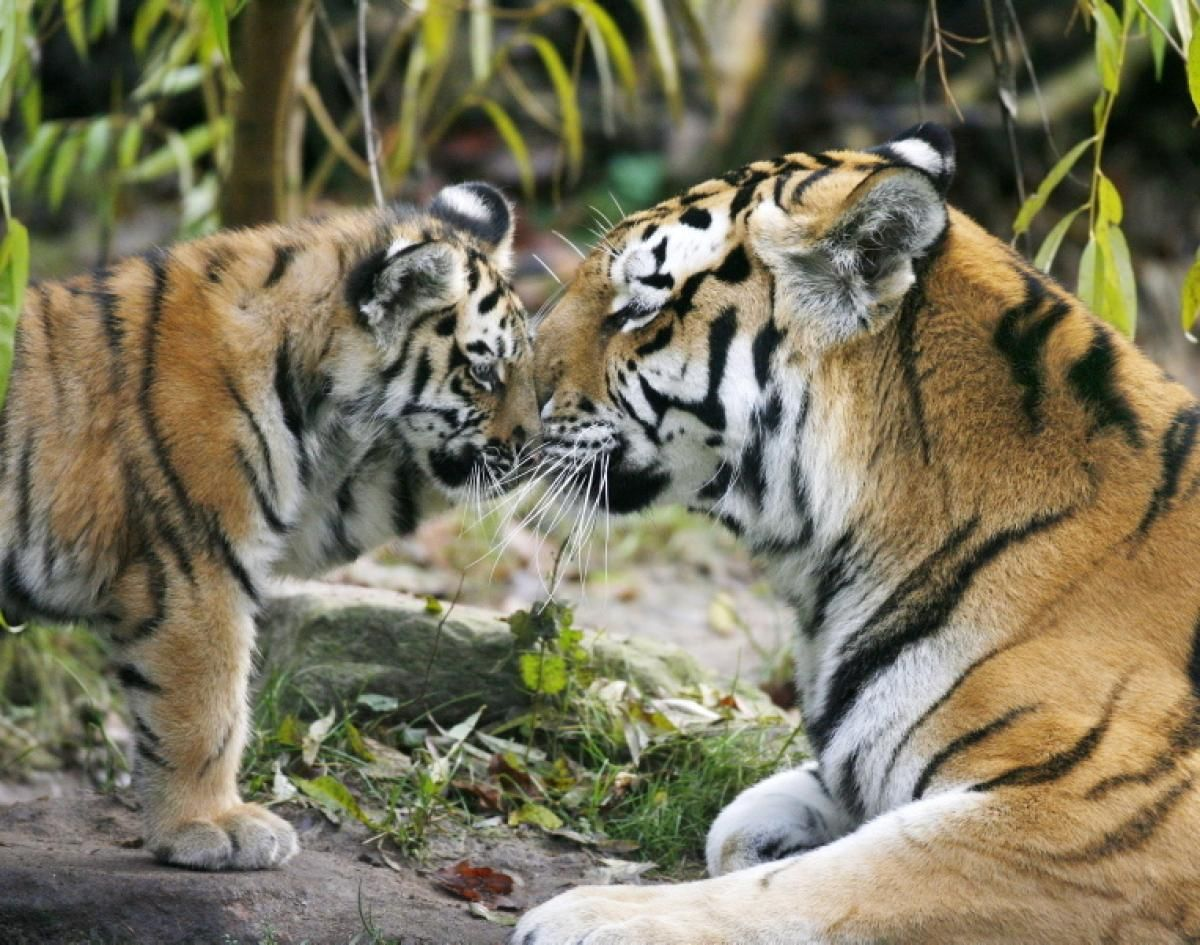 Siberian tiger and her baby Photos Baby animals with