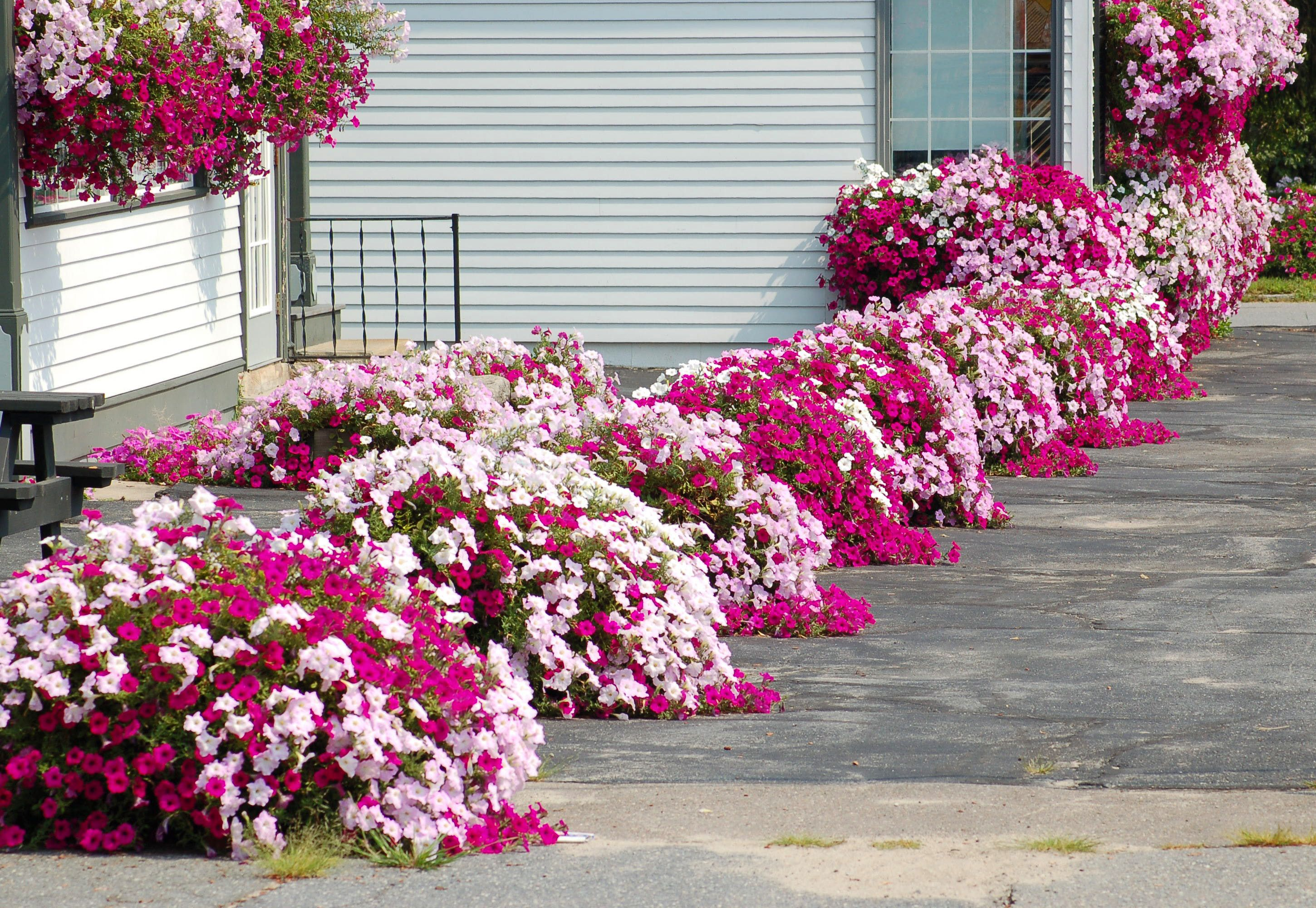 15 Flower Borders That Sizzle Petunias and Flower