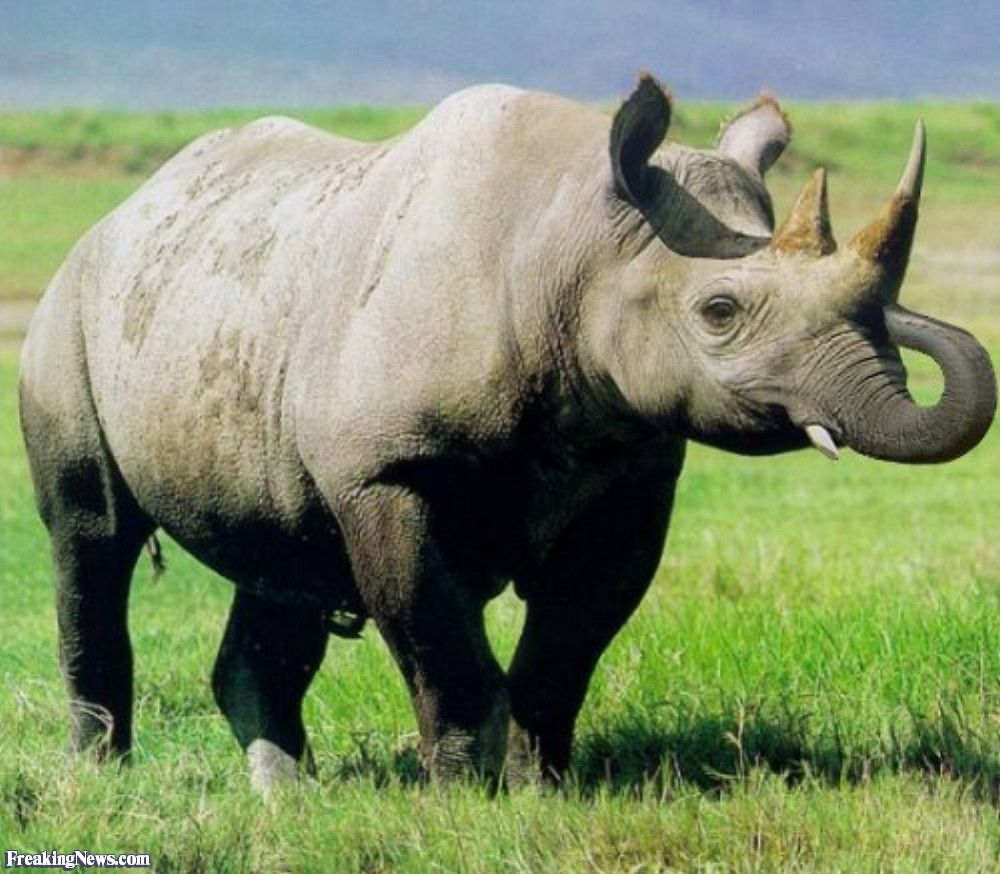 Rhino Elephant Puzzling Pachyderms II Pinterest